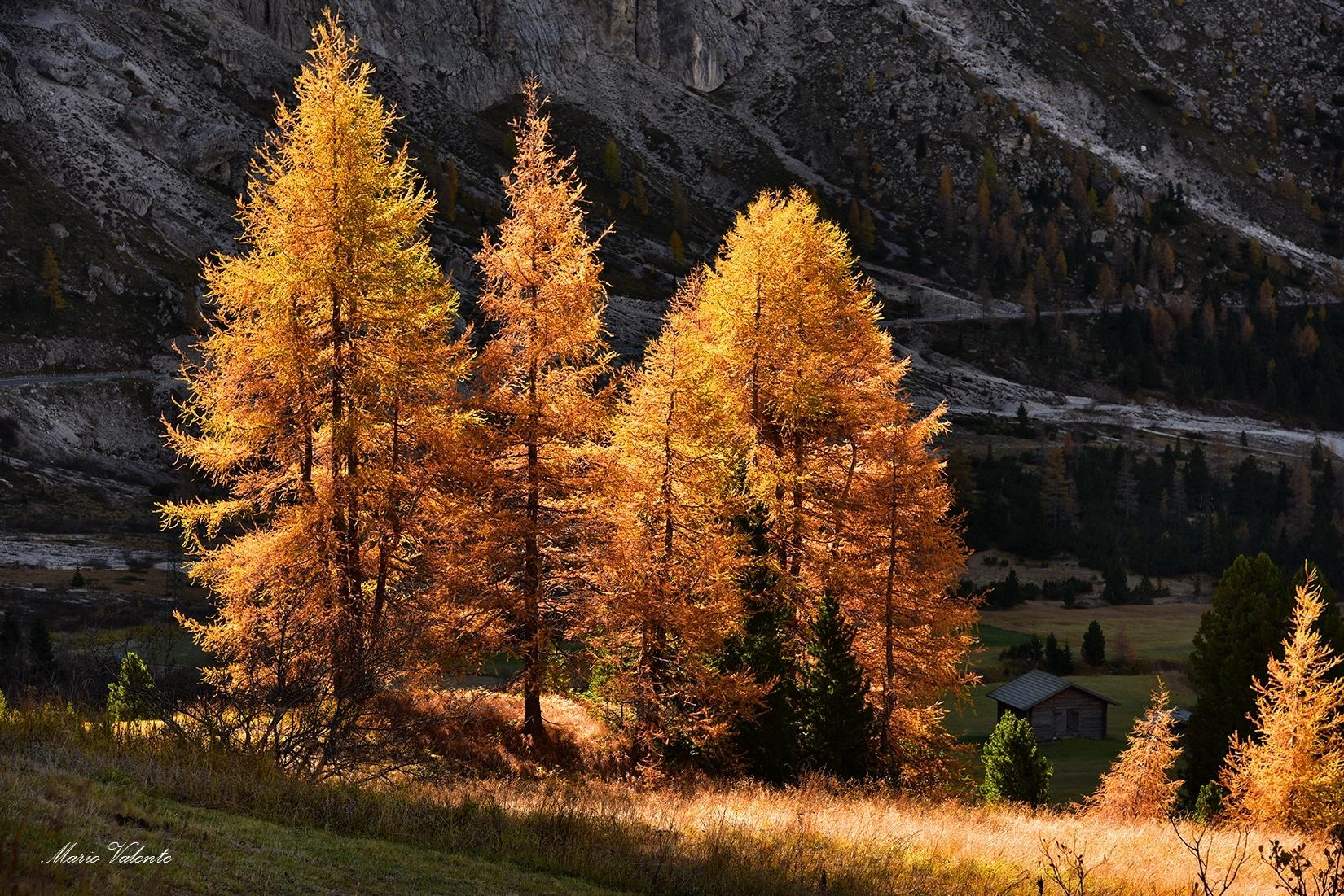 Larici illuminati dal sole sul passo Gardena...
