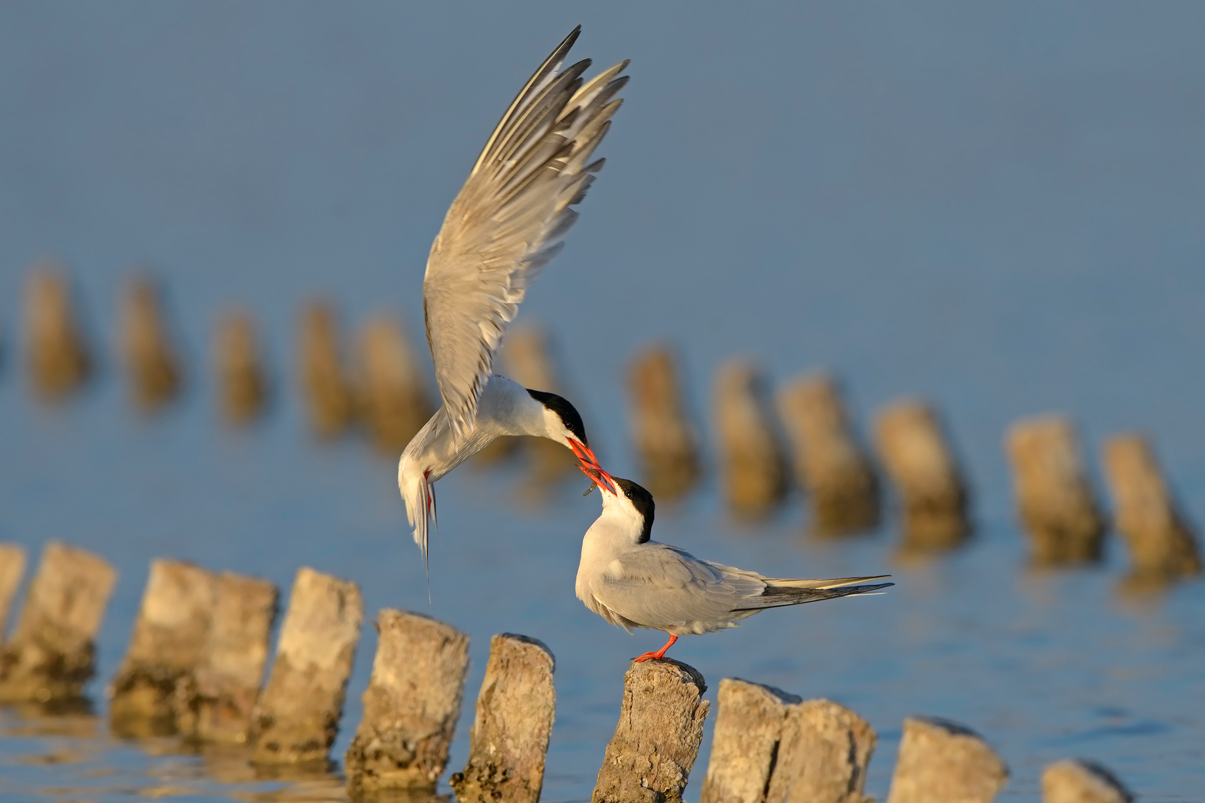 terns and shrimp, in spite ......