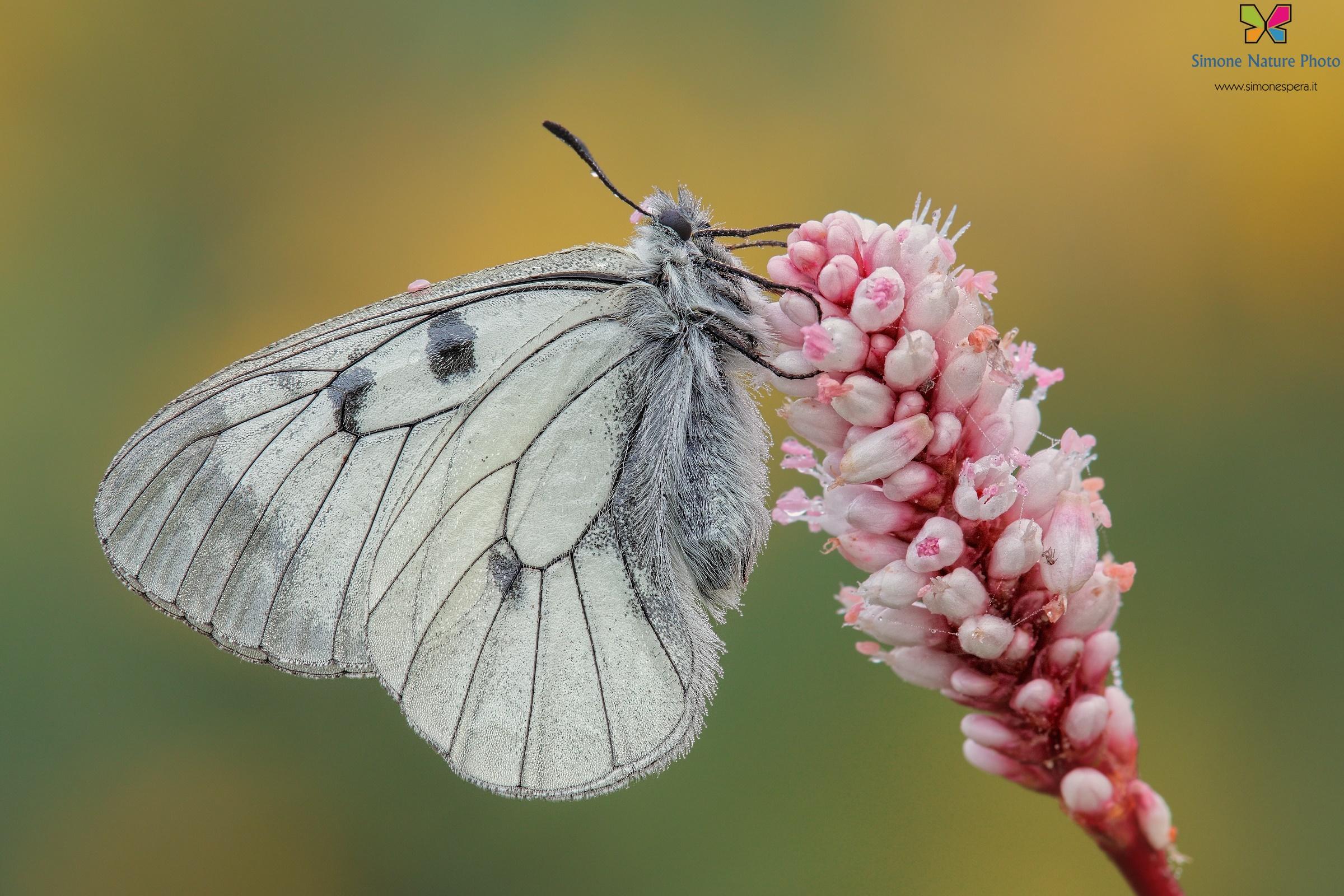 Parnassius (Driopa) mnemosyne (Linnaeus, 1758)...