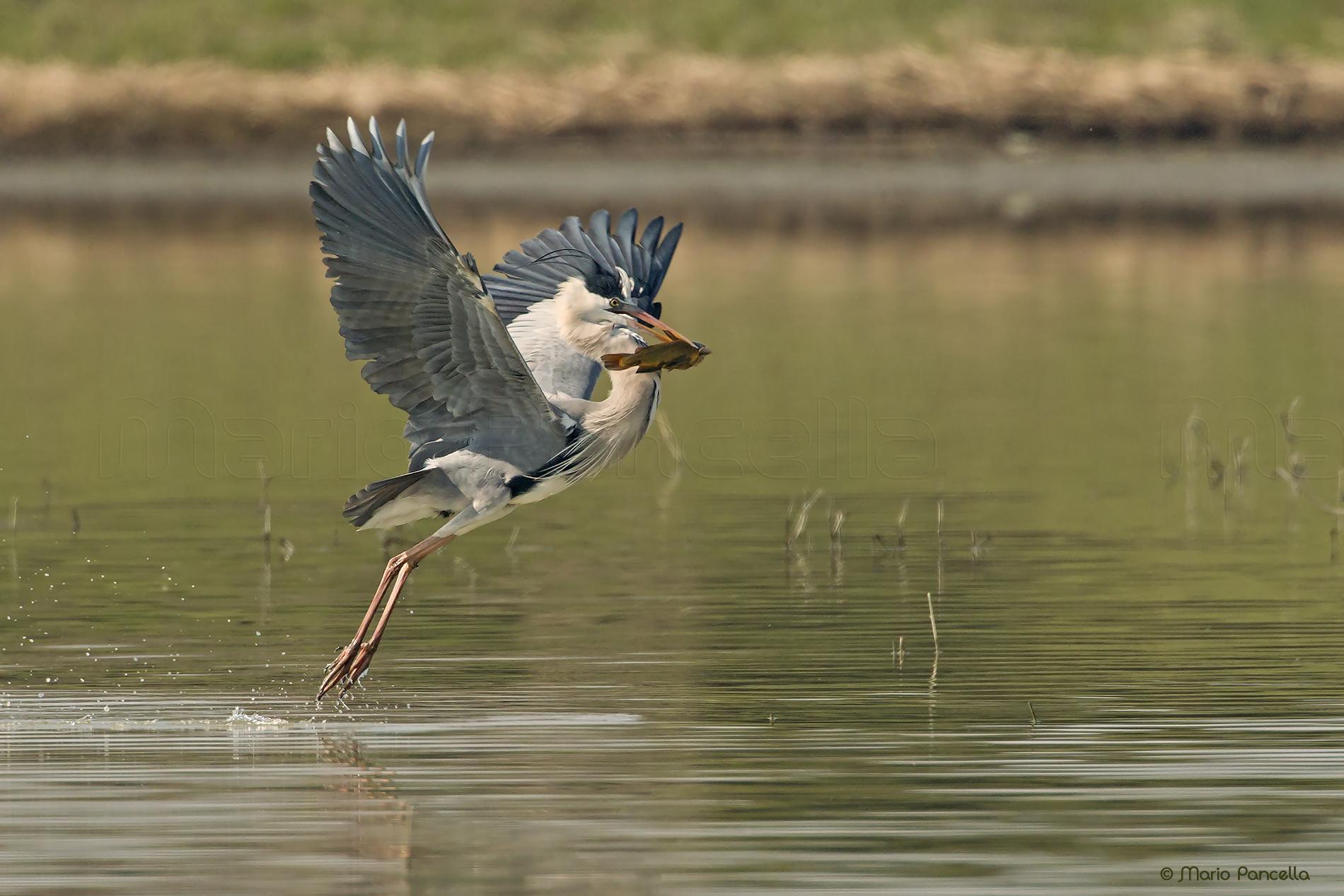 Heron with prey...