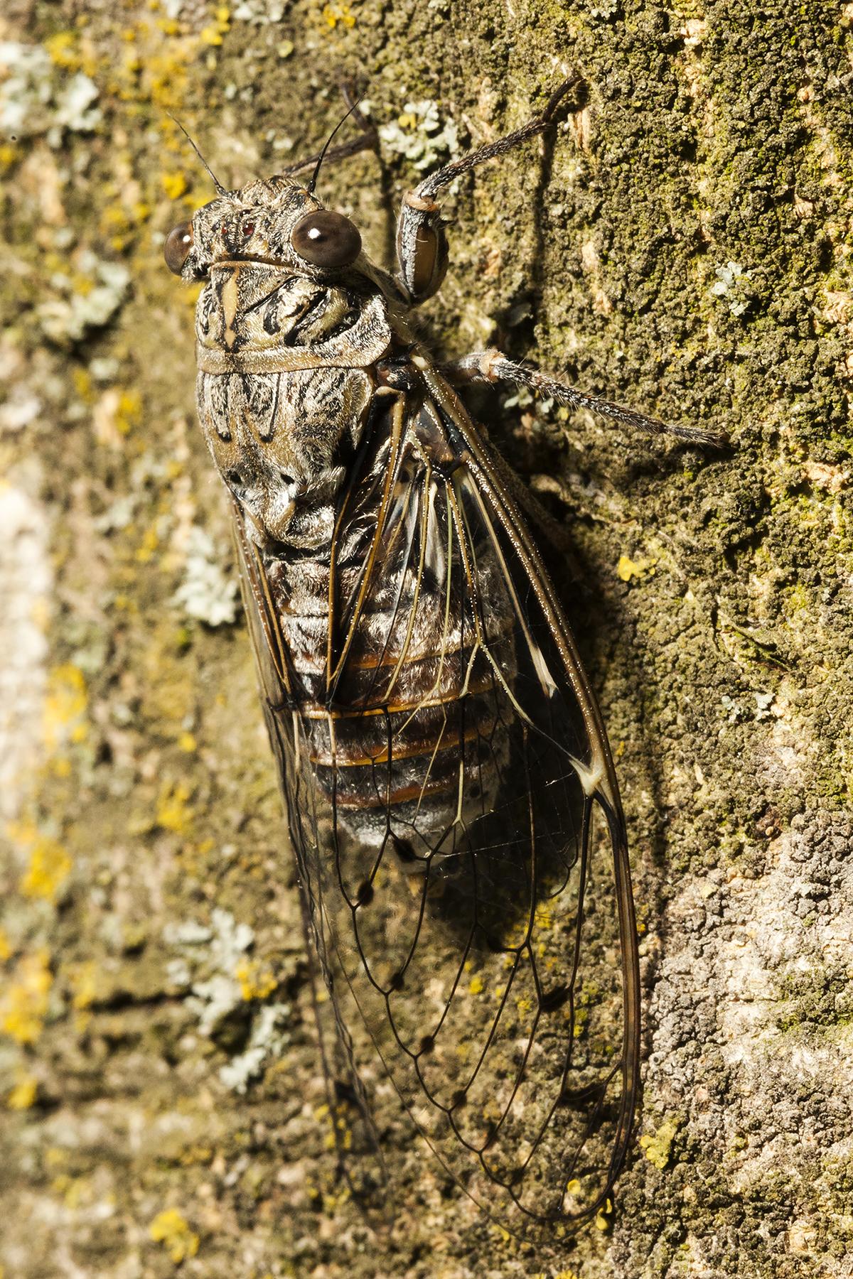 Cicada Orni...