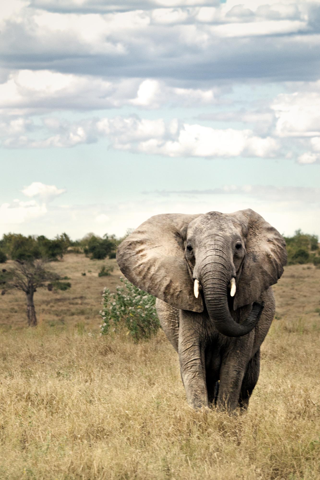 Rogue elephant...