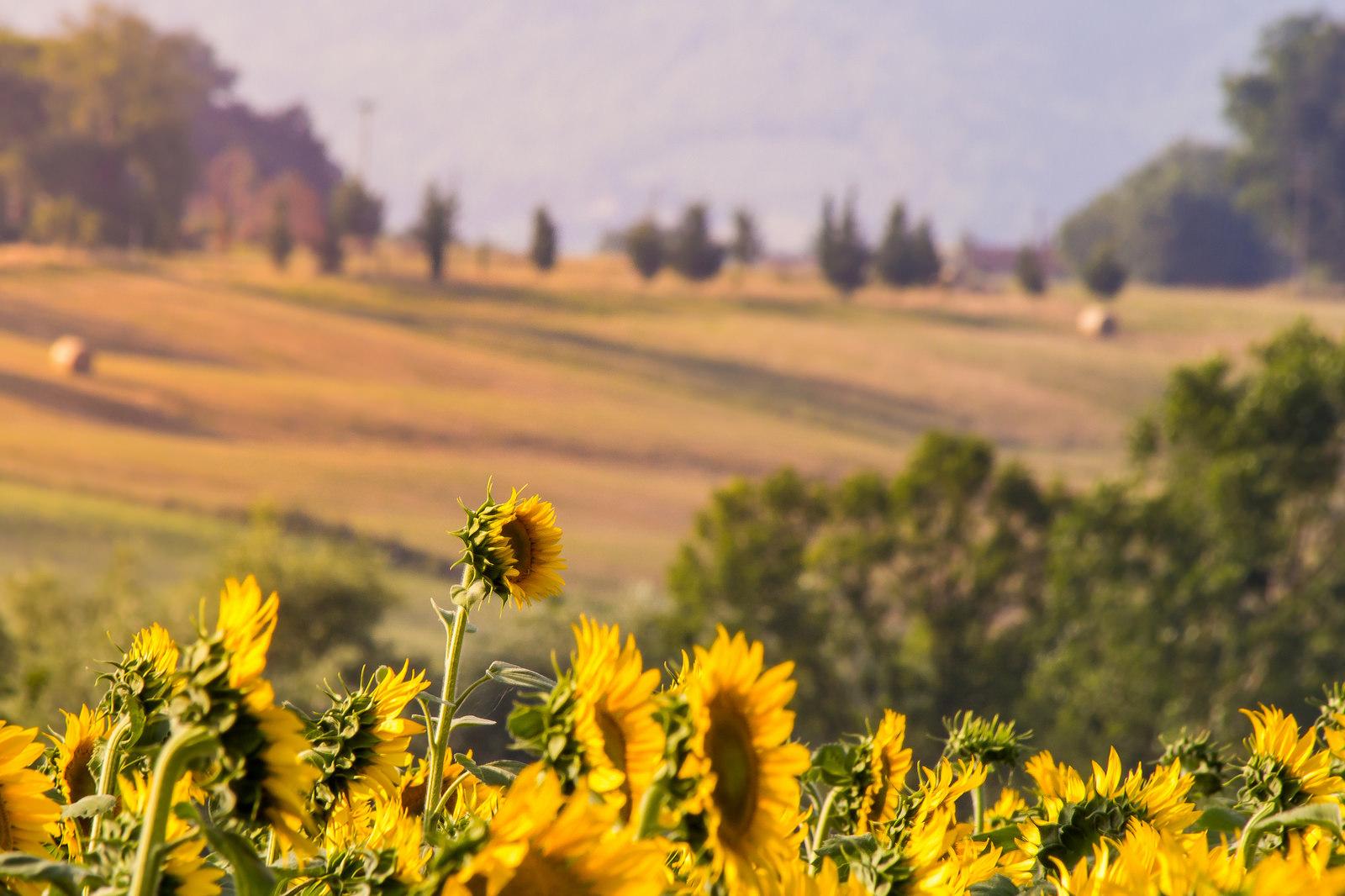 Mugello and Sunflowers...