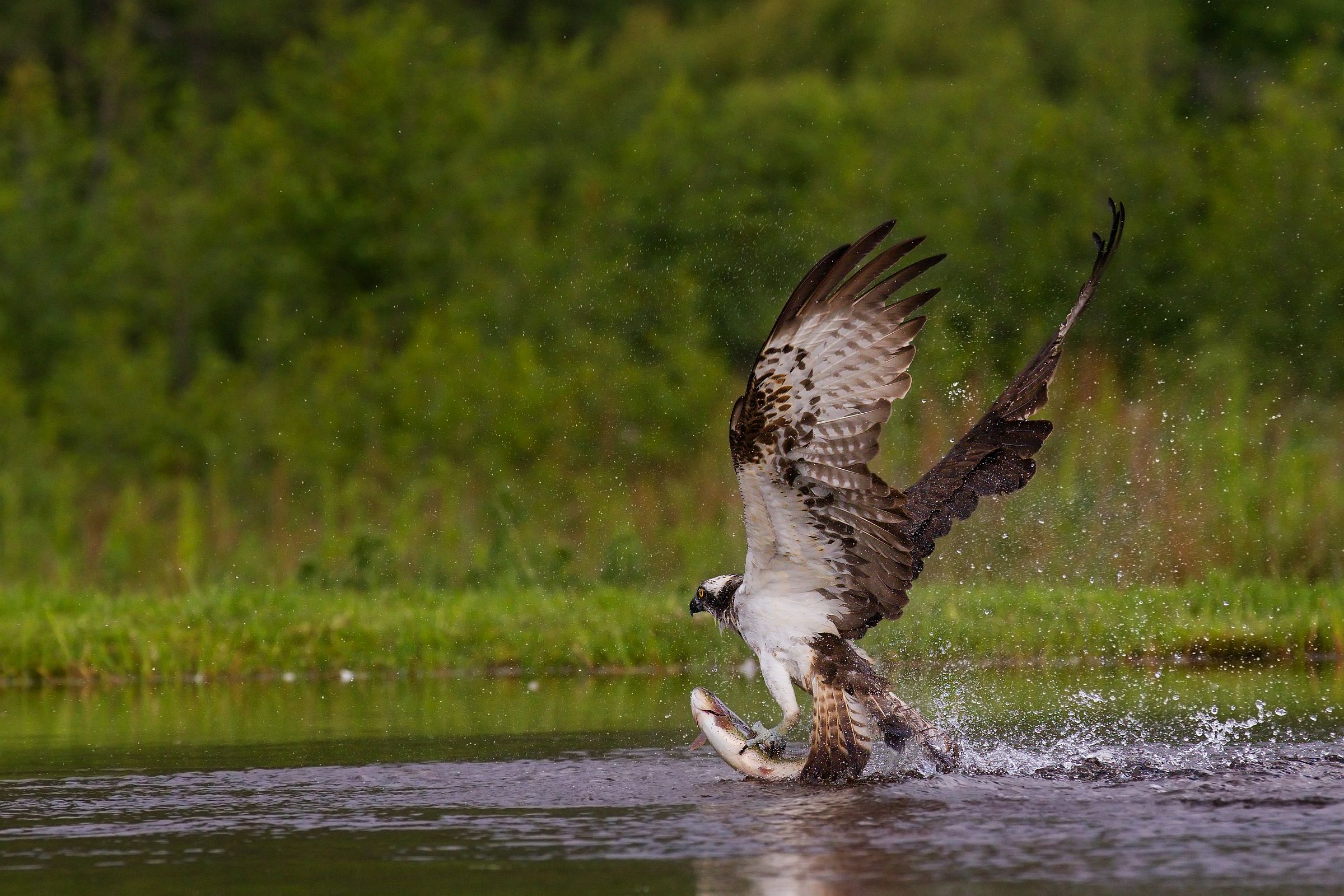Fish-surfing Osprey...