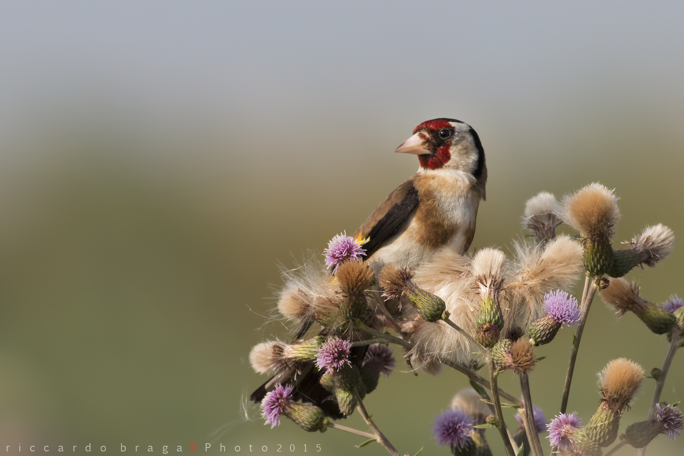 Goldfinch on thistle country...