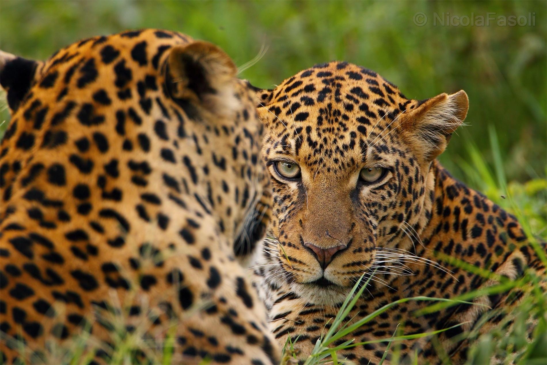Leopardi...