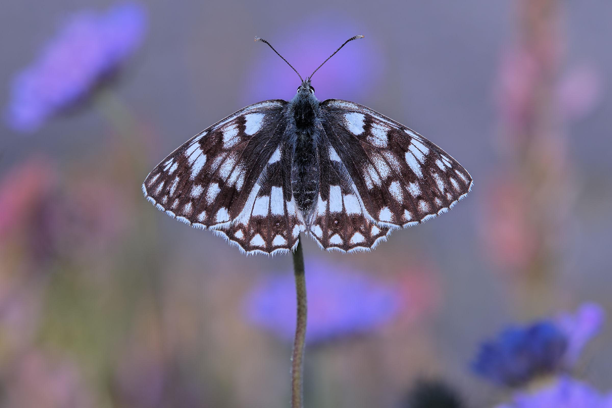 Petals butterfly...