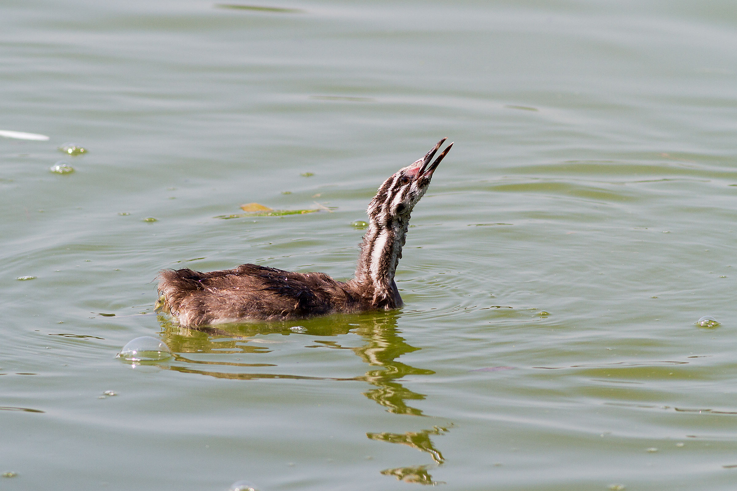 Young grebe...
