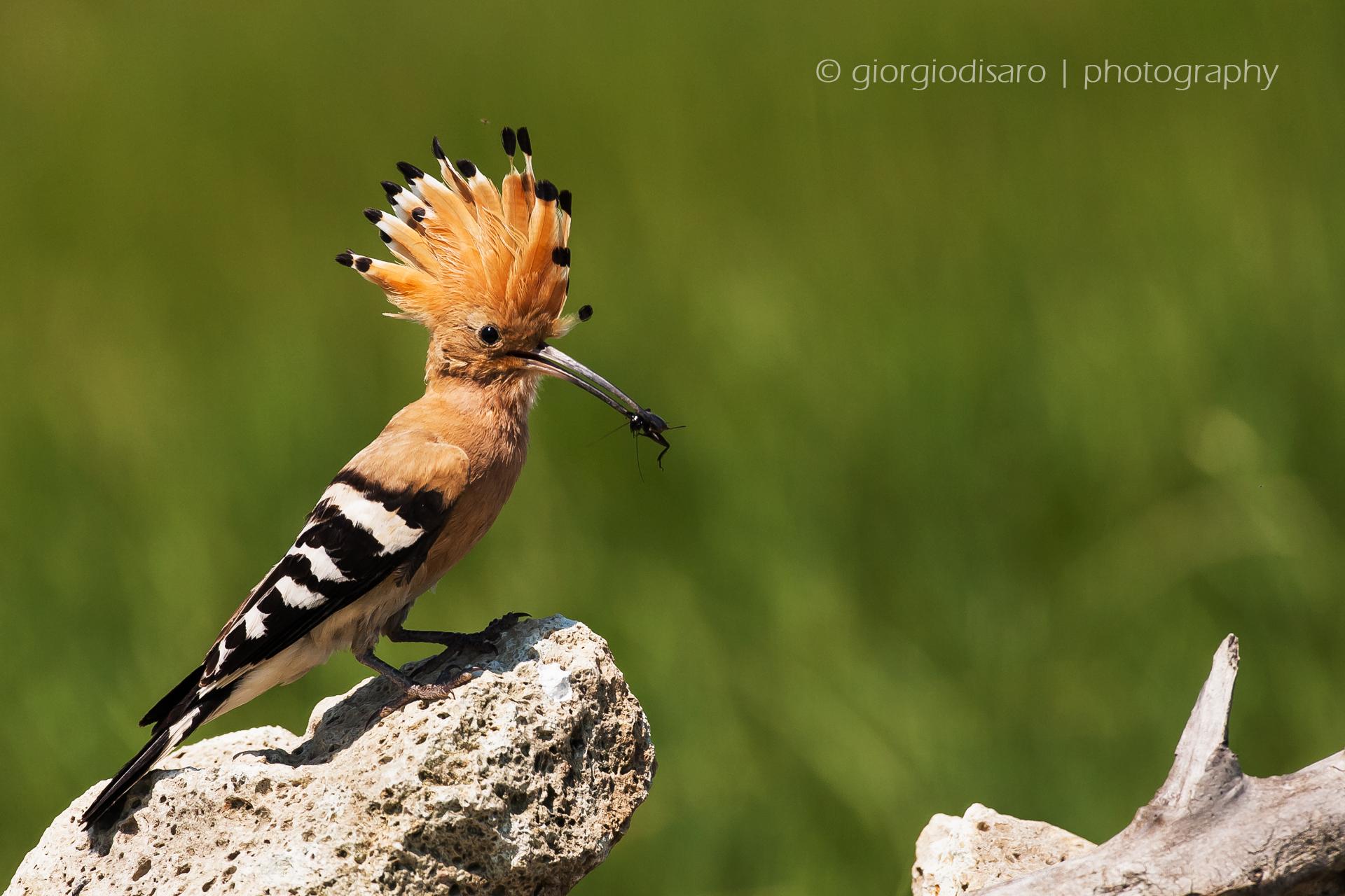 Hoopoe with prey...