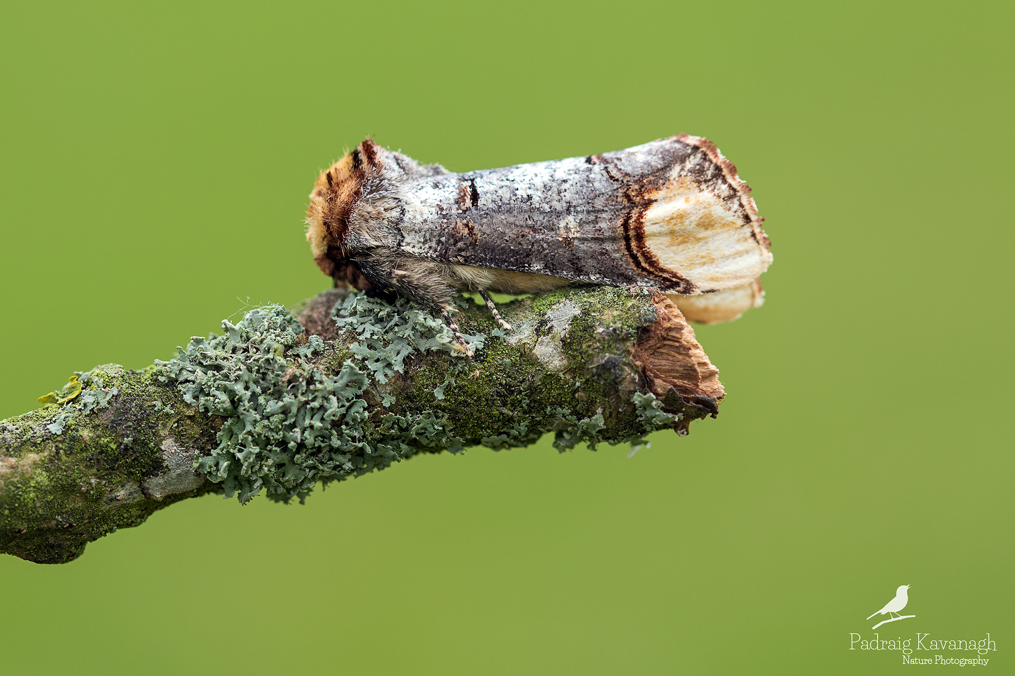 Buff Suggerimento Moth...