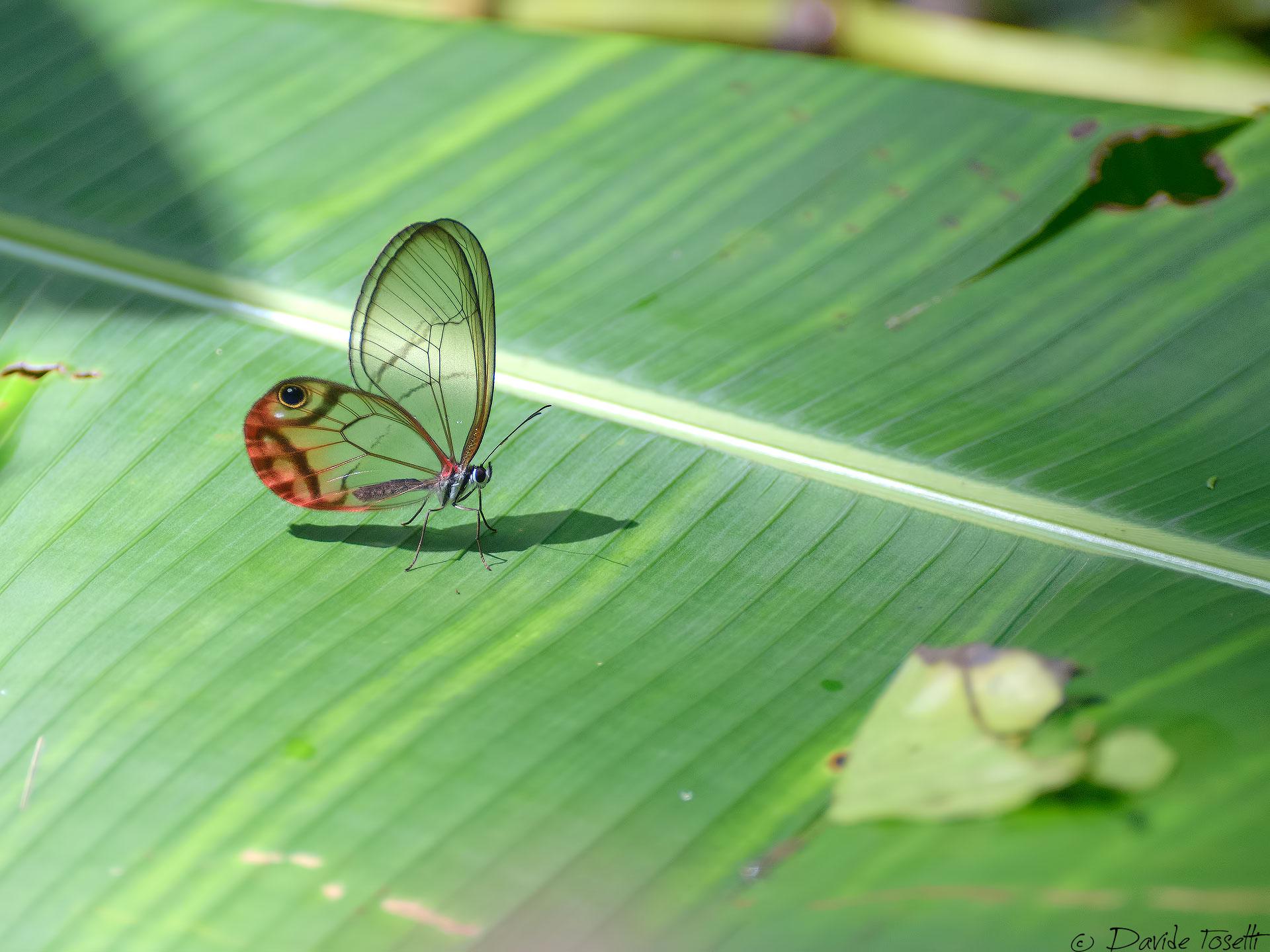 Glass butterfly...