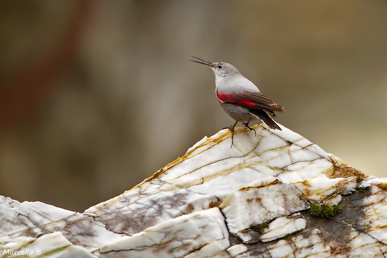 Woodpecker Muraiolo - Apuan Alps....