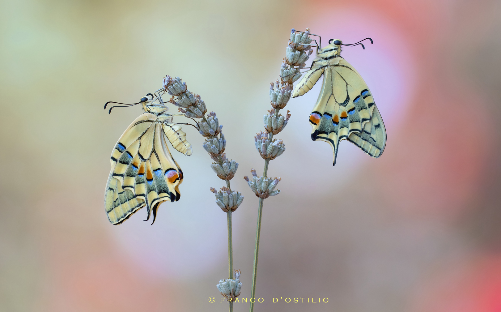 Swallowtails....