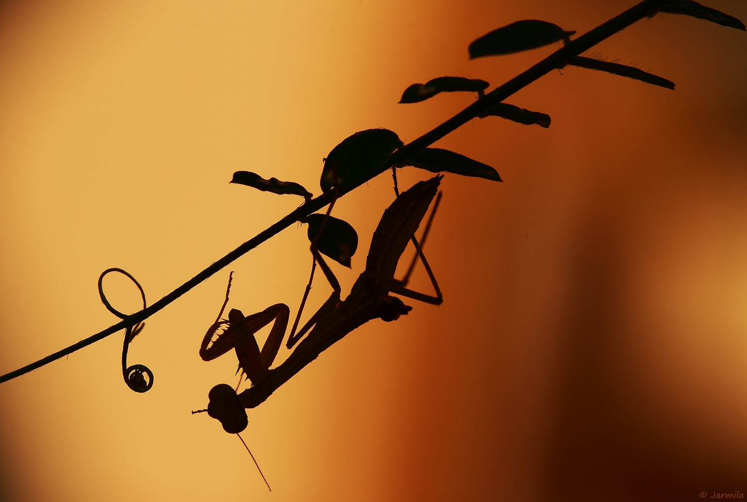 The small mantis at sunset...