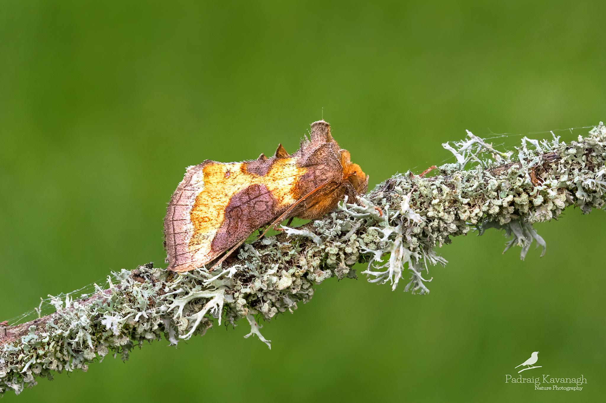 Ottone brunito (Diachrysia chrysitis)...