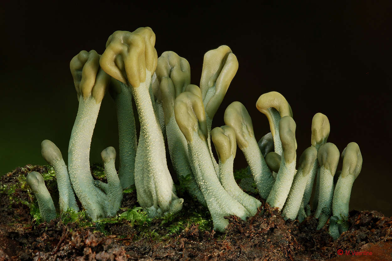 Green Earthtongue - Microglossum viride...