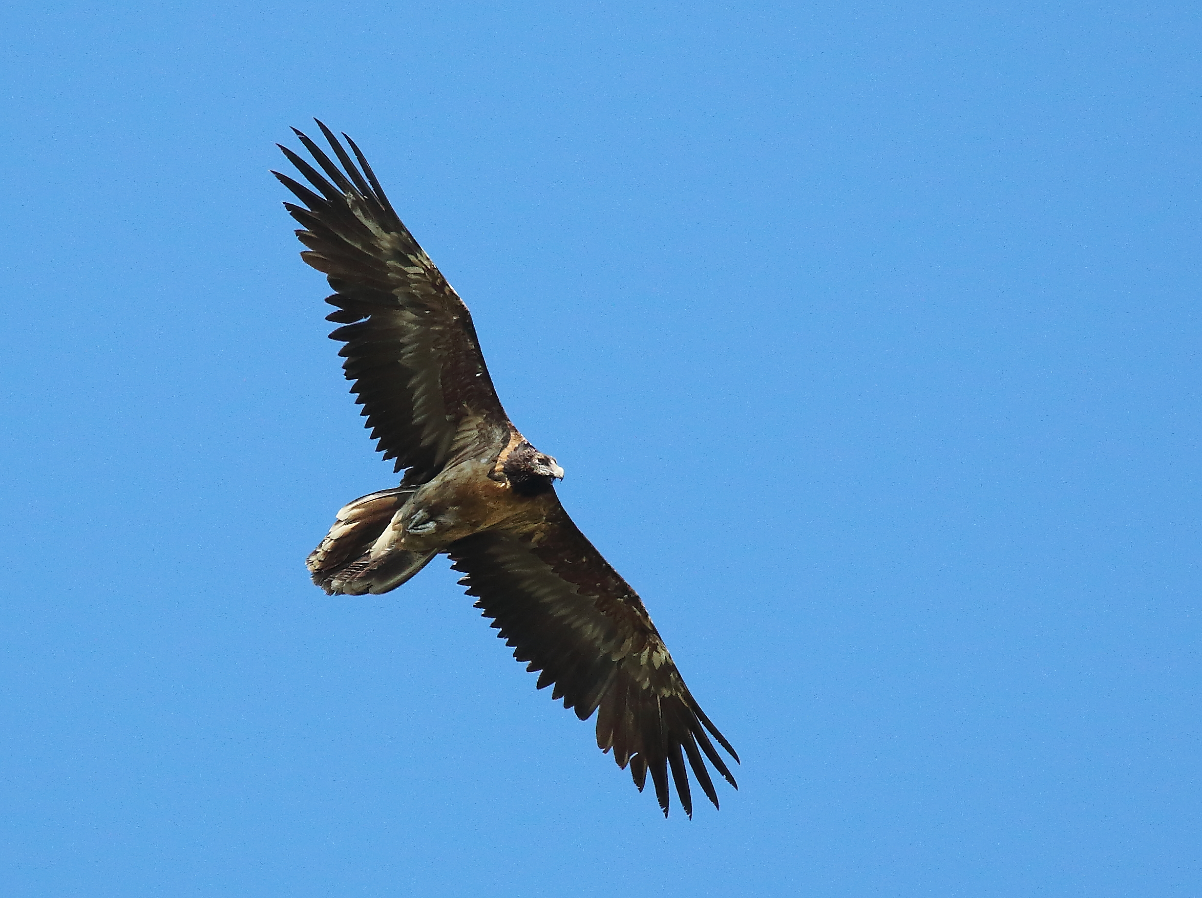 Bearded Vulture, Val di Lanzo...