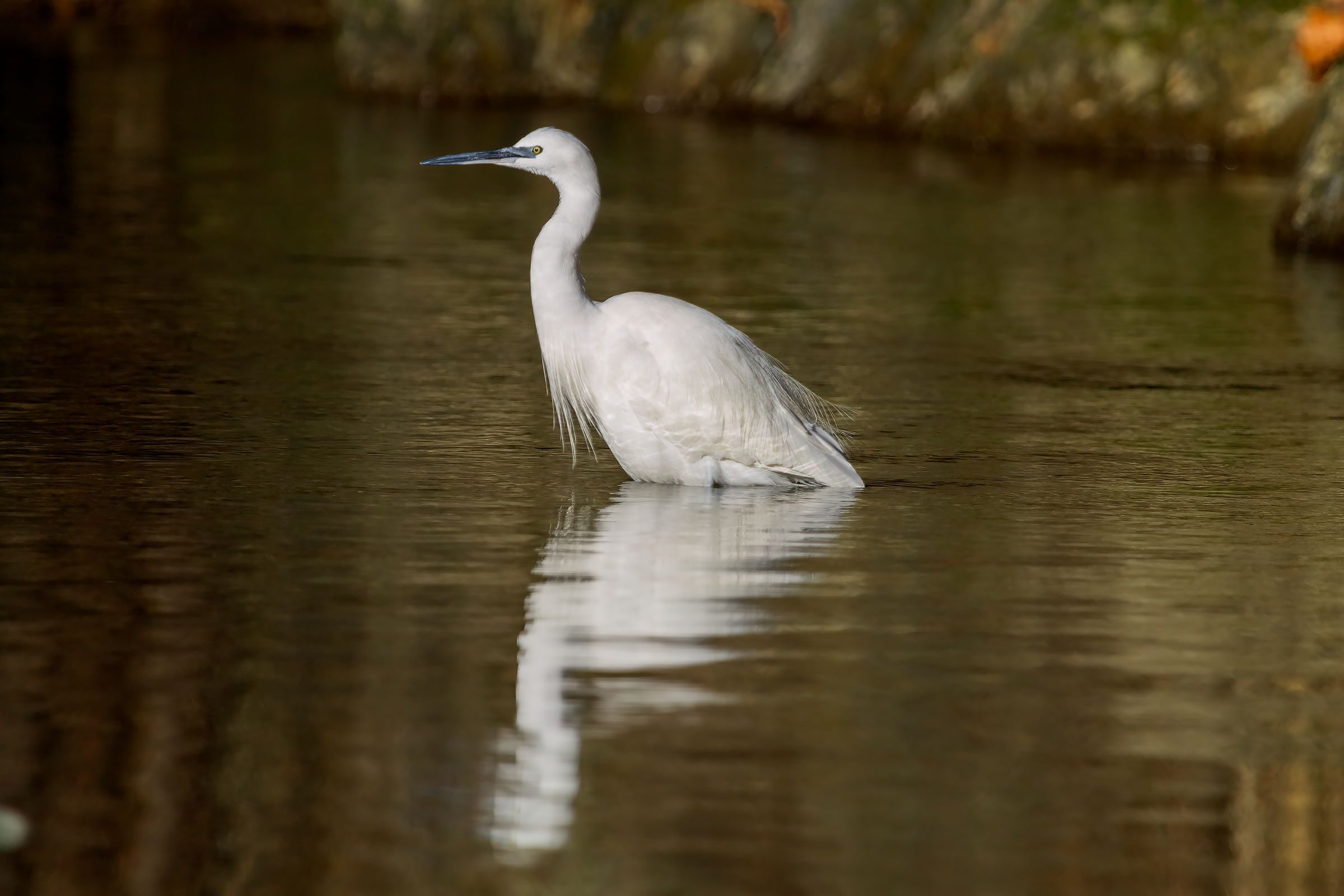 Egret at dawn...