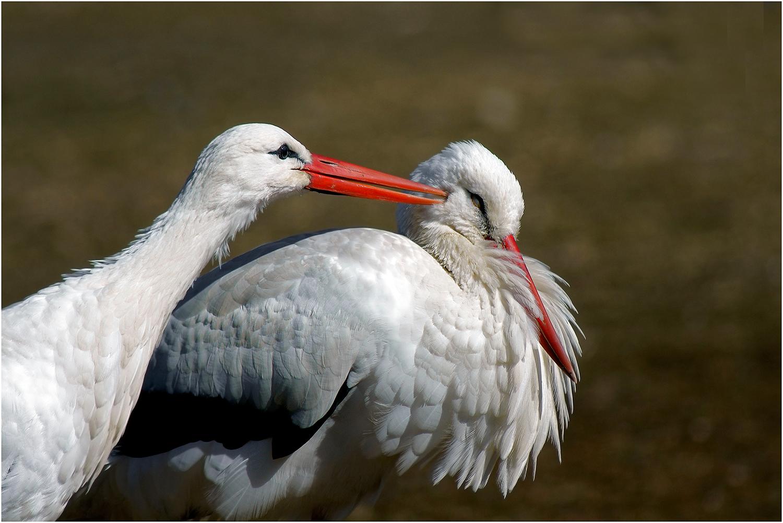 teasing between storks...