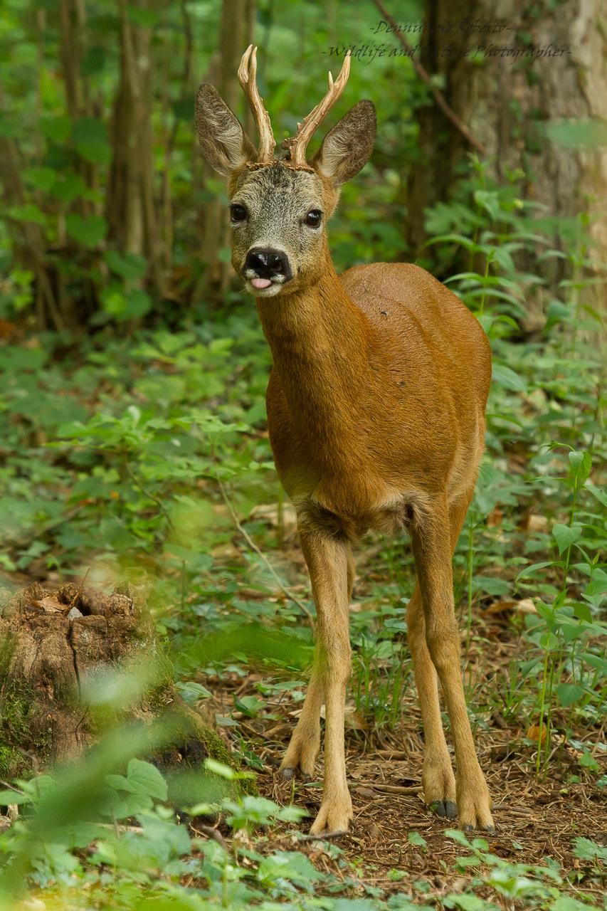 Man sucked by deer