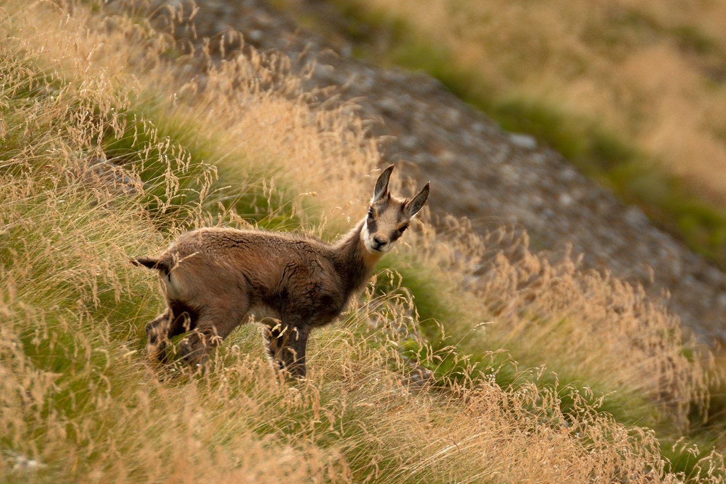 Young chamois...