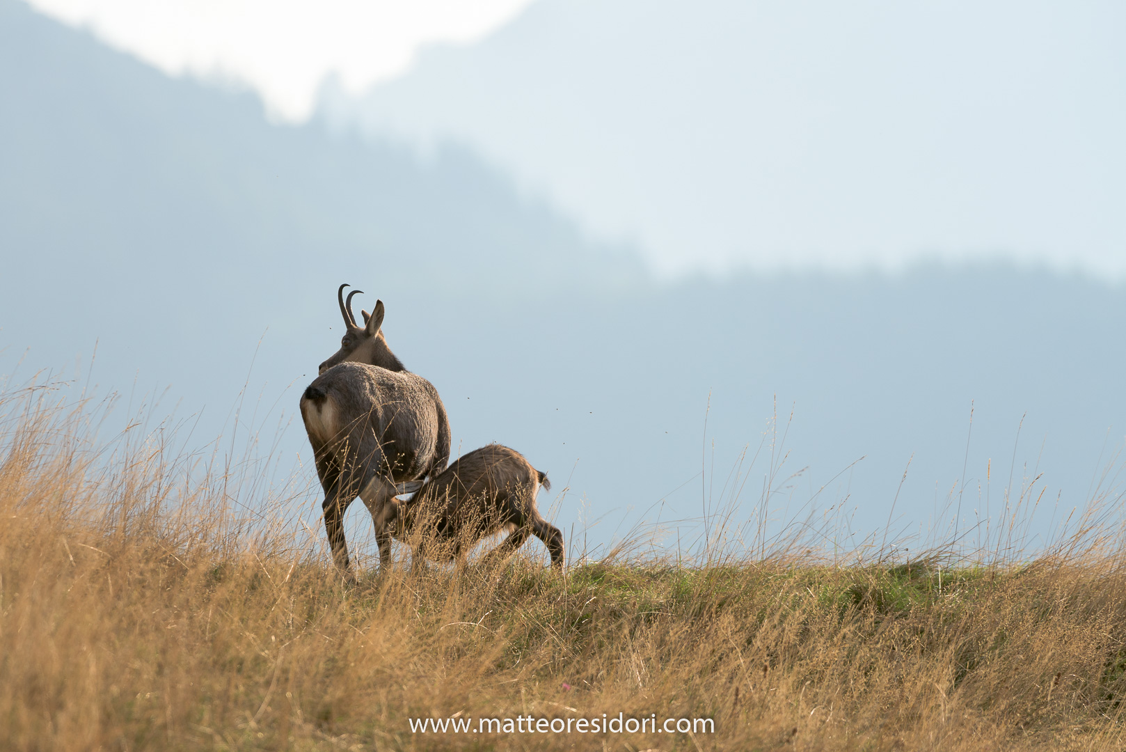 Chamois: breastfeeding mother the little...