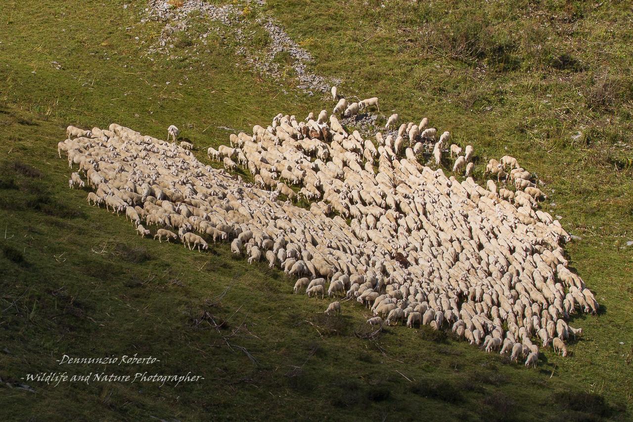 sheep love...