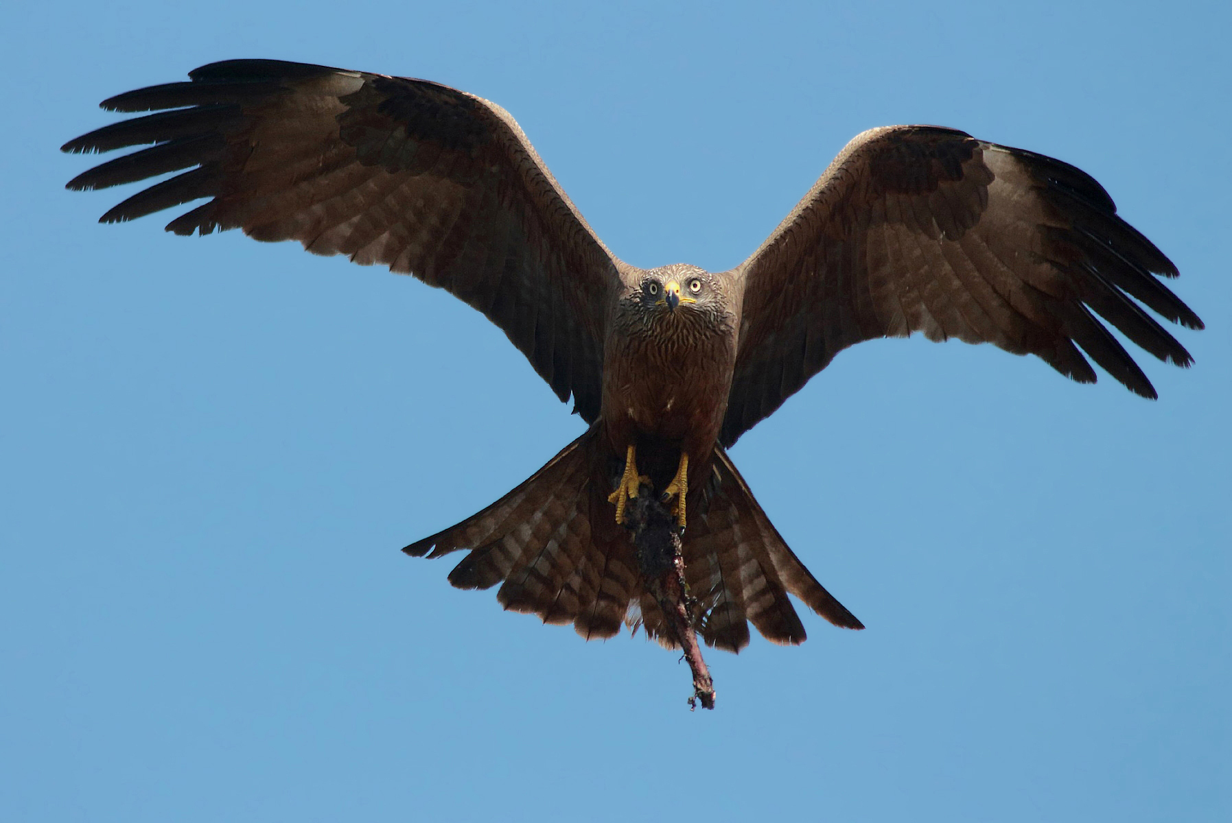 Black Kite incoming...