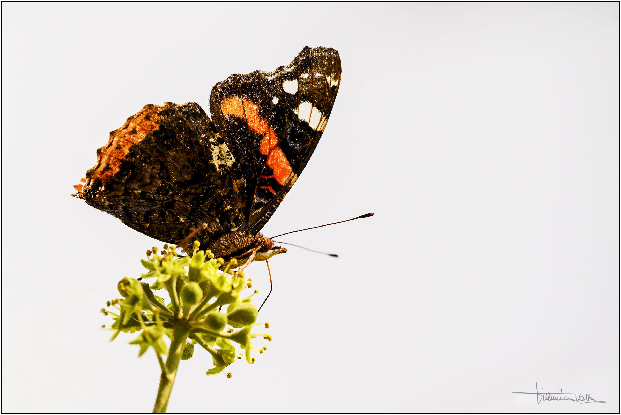 Red Admiral...