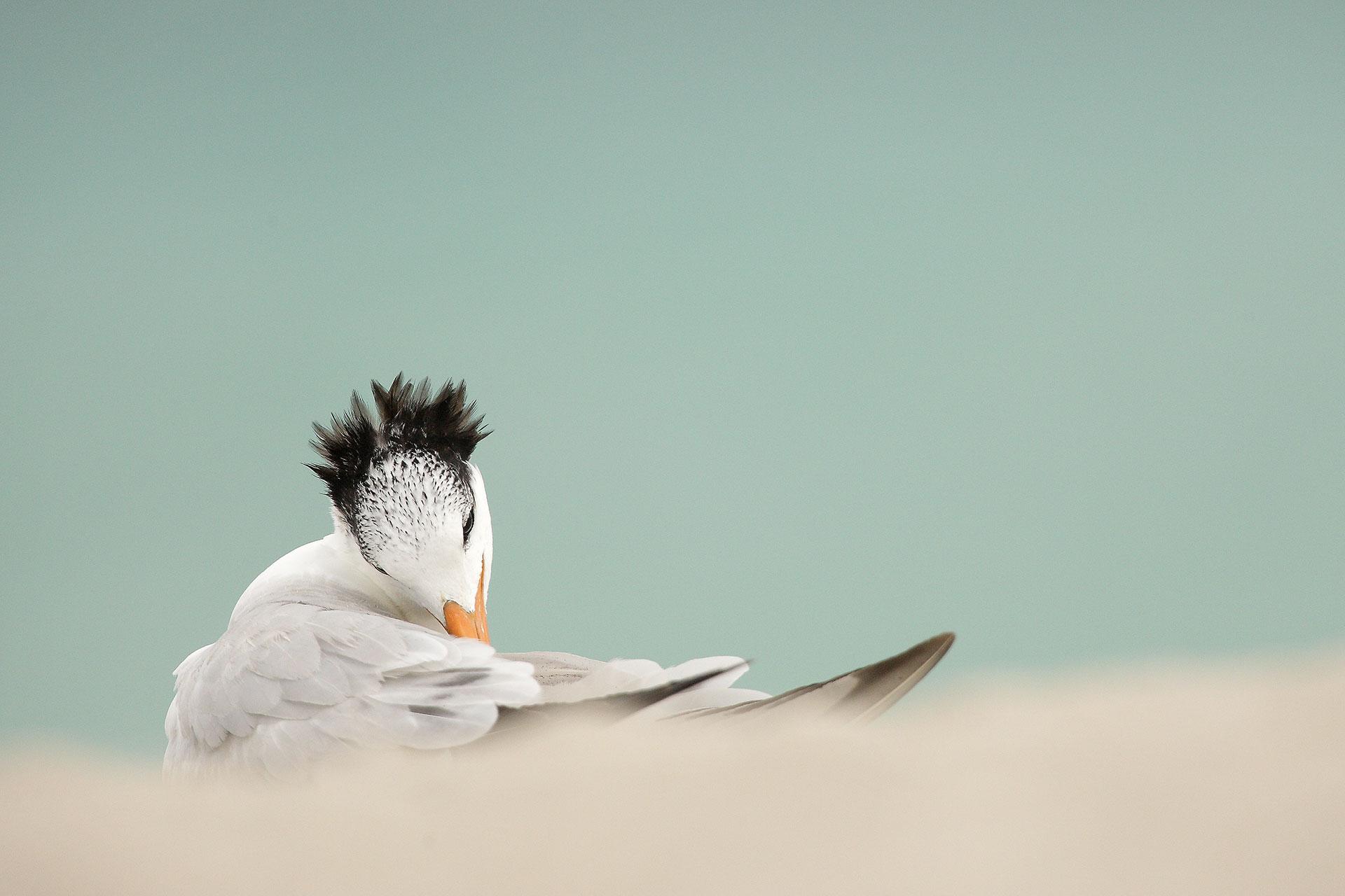 Royal Tern...