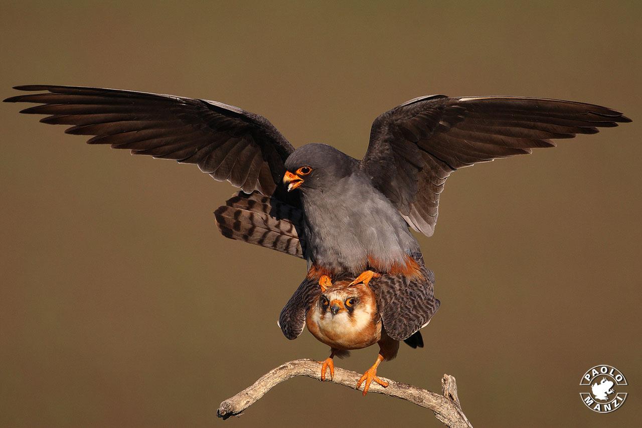 Hawk Cuckoo - Pair...