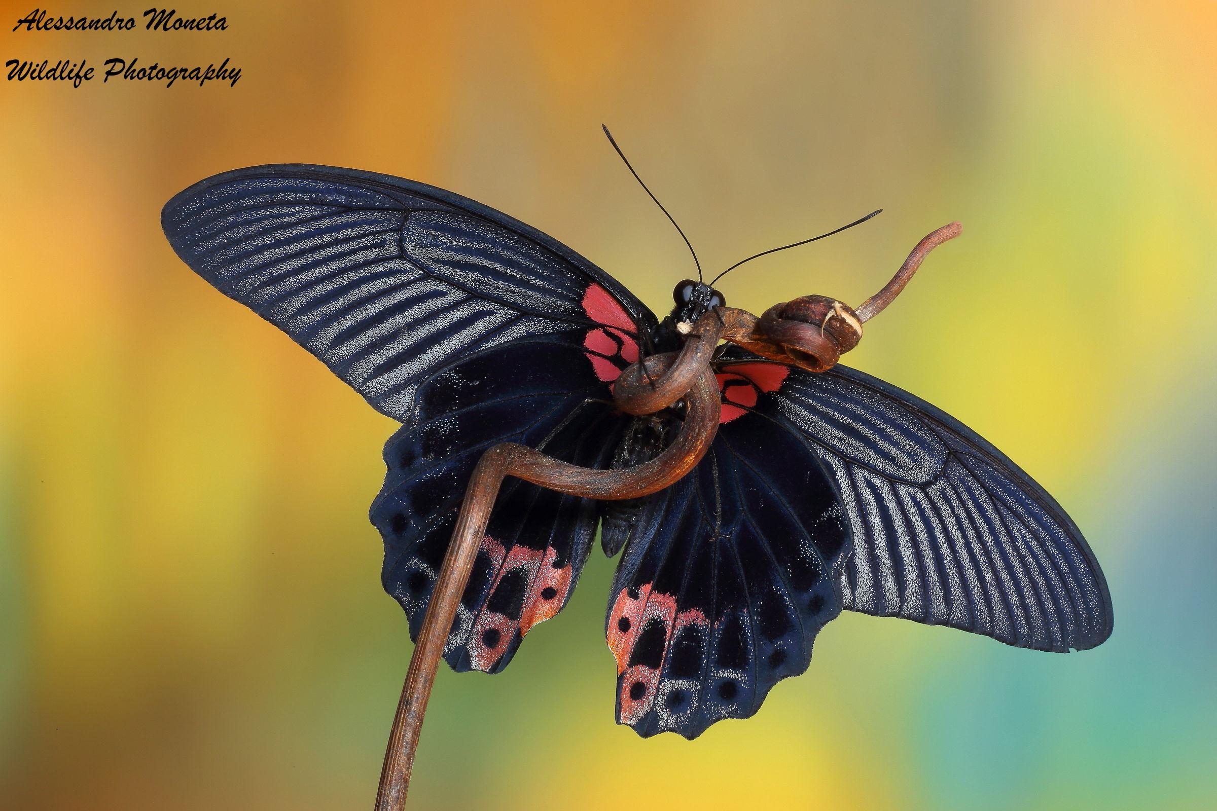 Papilio memnon...