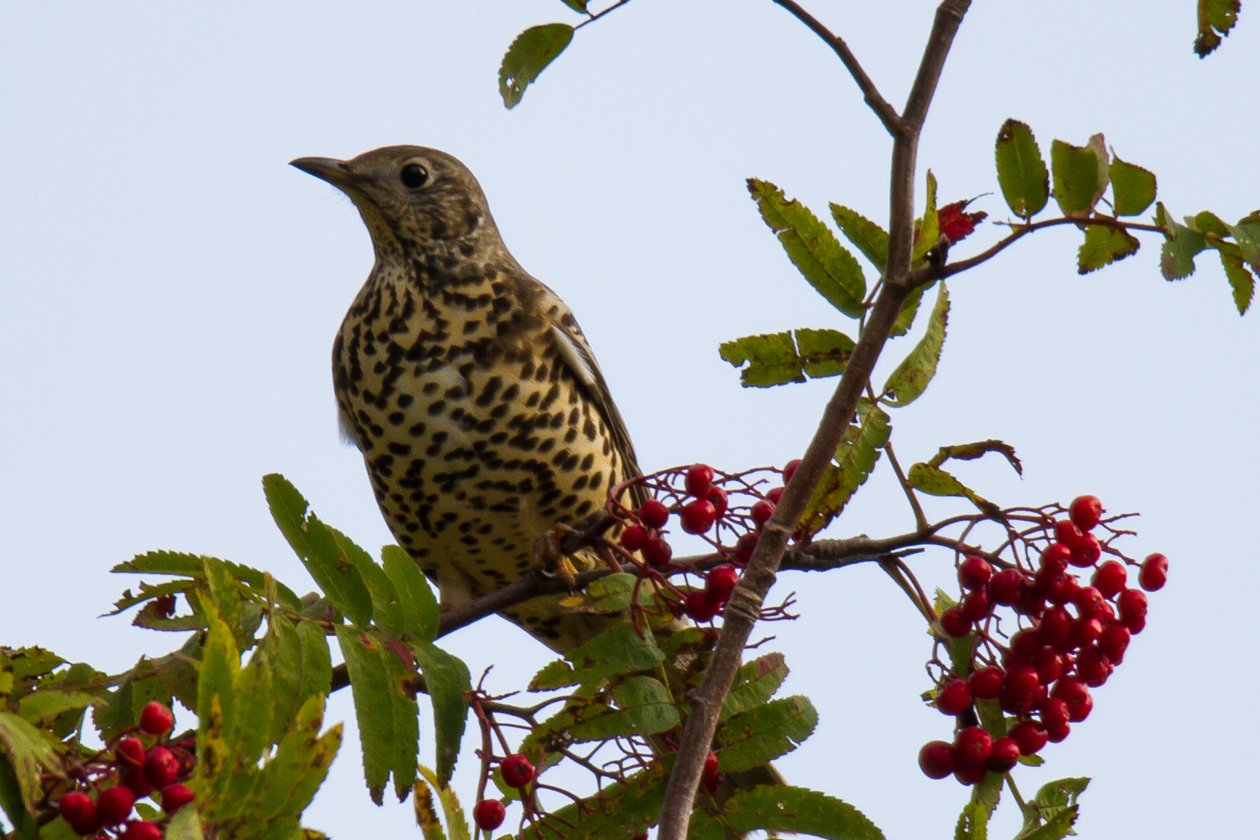 thrush on rowan...