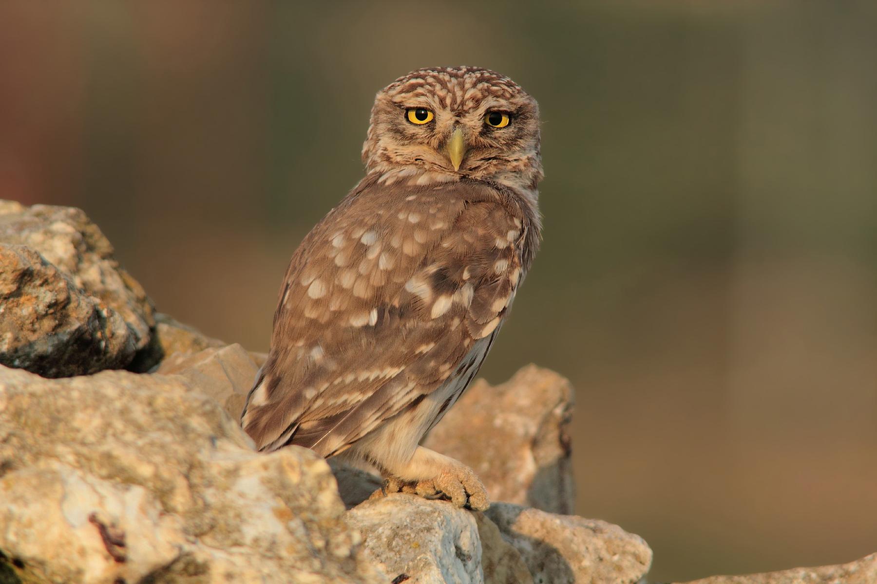 Owl posing elegant...
