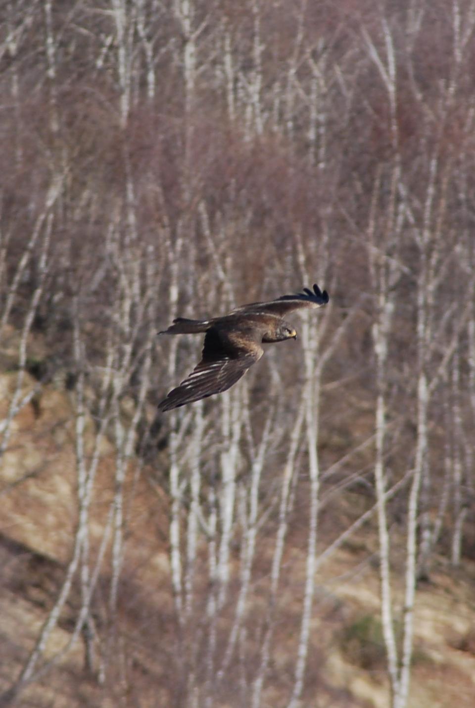 Black kite...