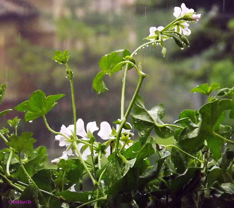 pioggia sui gerani 2...
