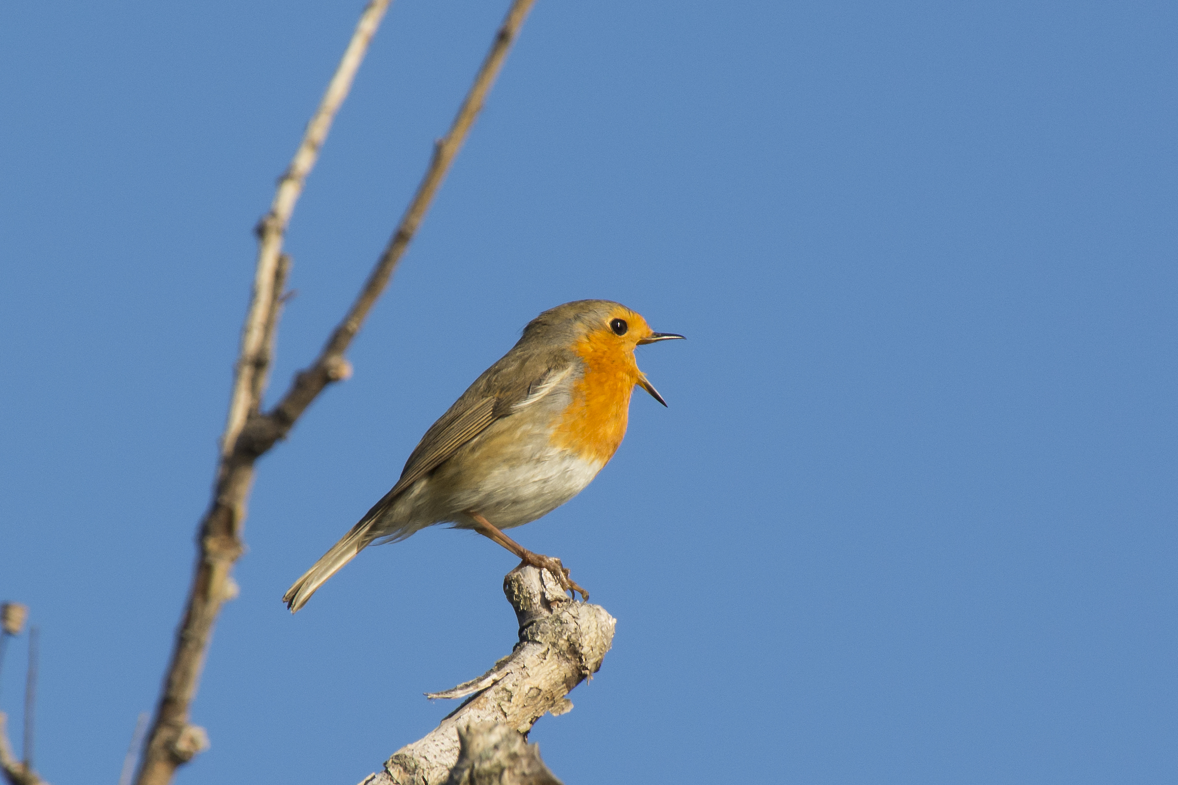 The song of the robin...