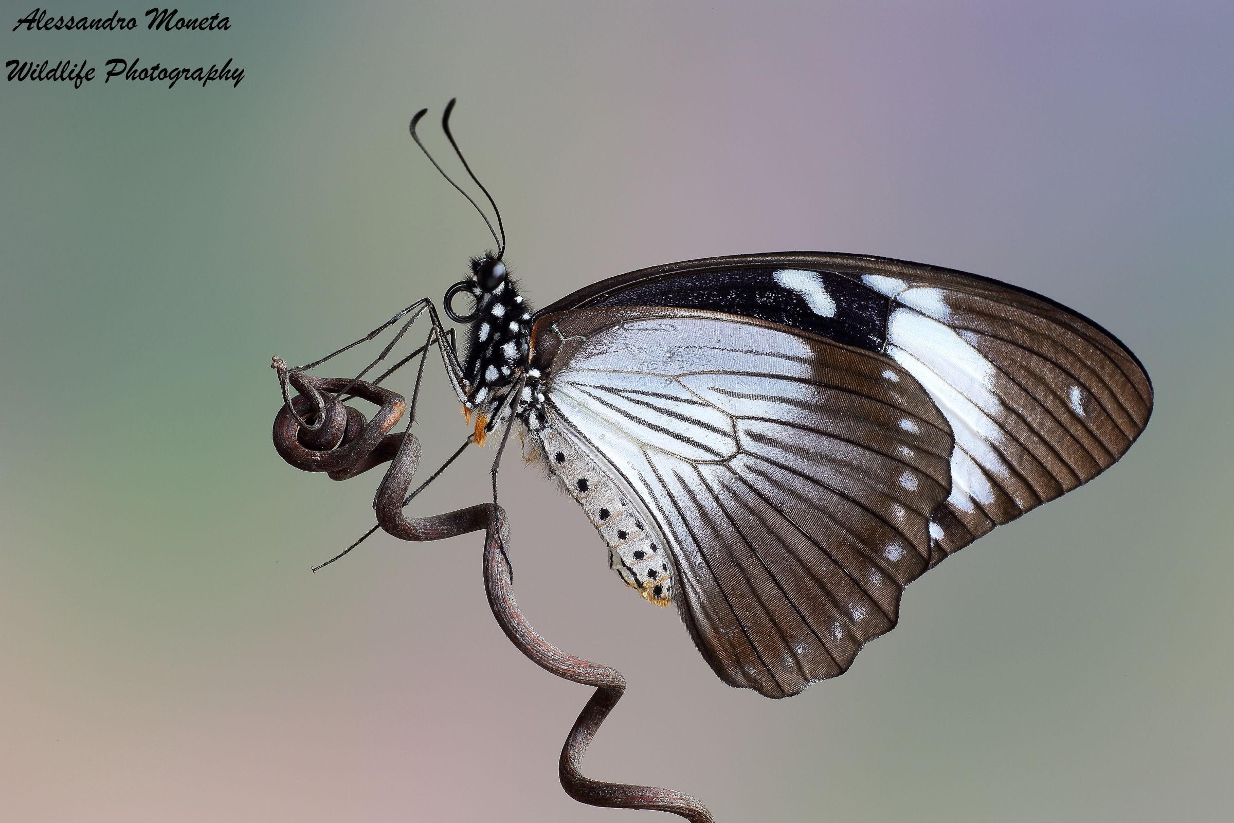 Papilio dardanus...