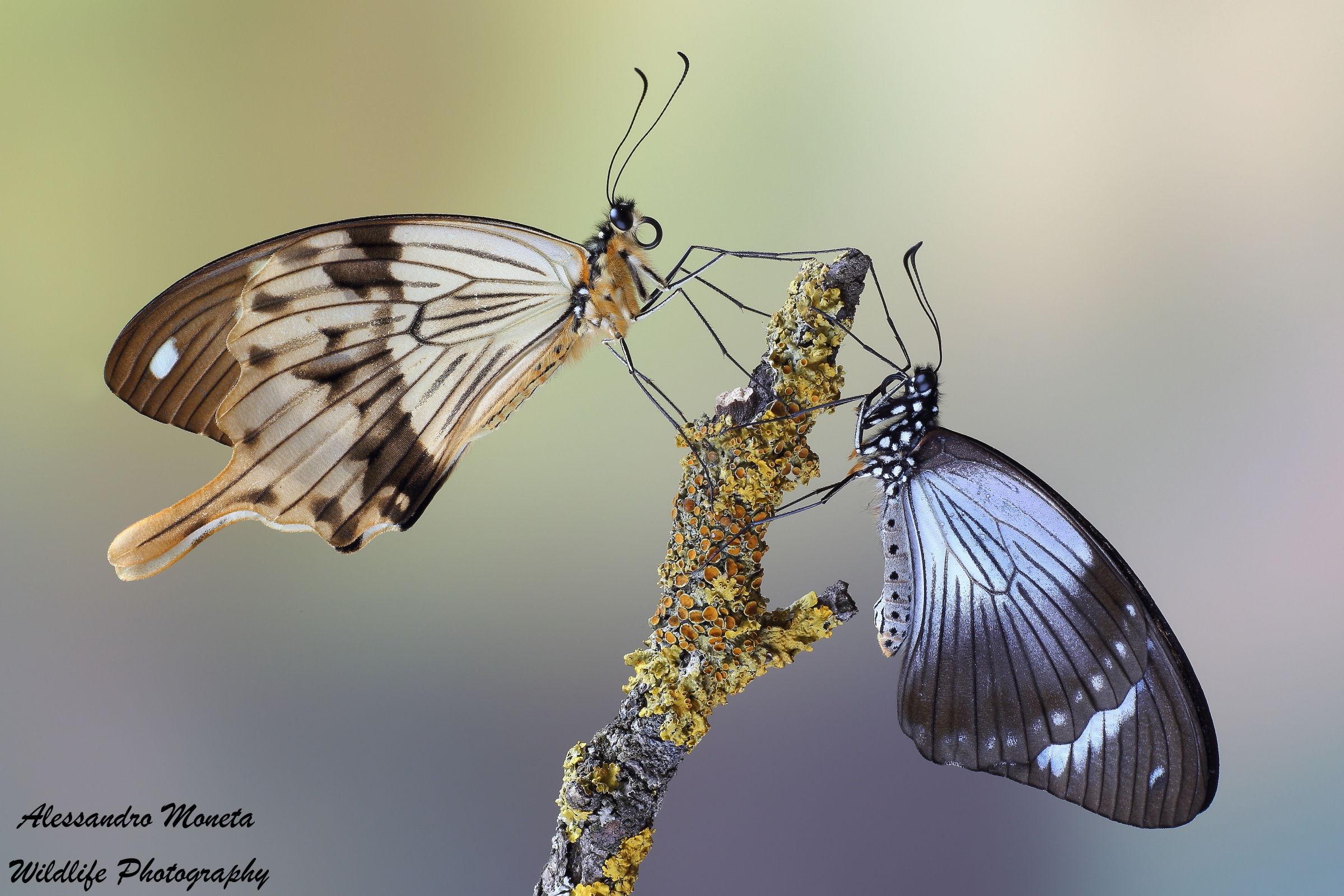 Couple Papilio dardanus...