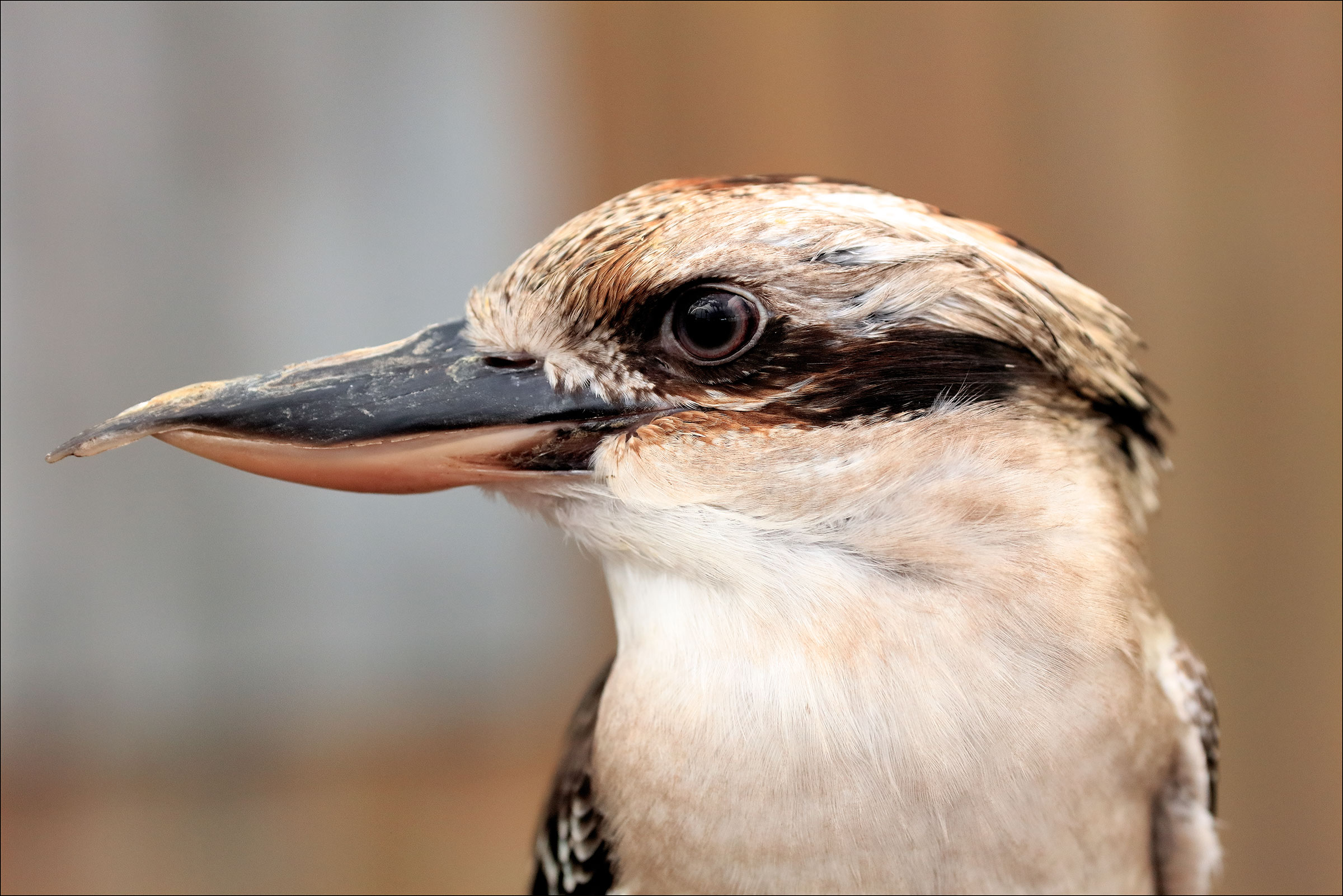 Kookaburra 2...
