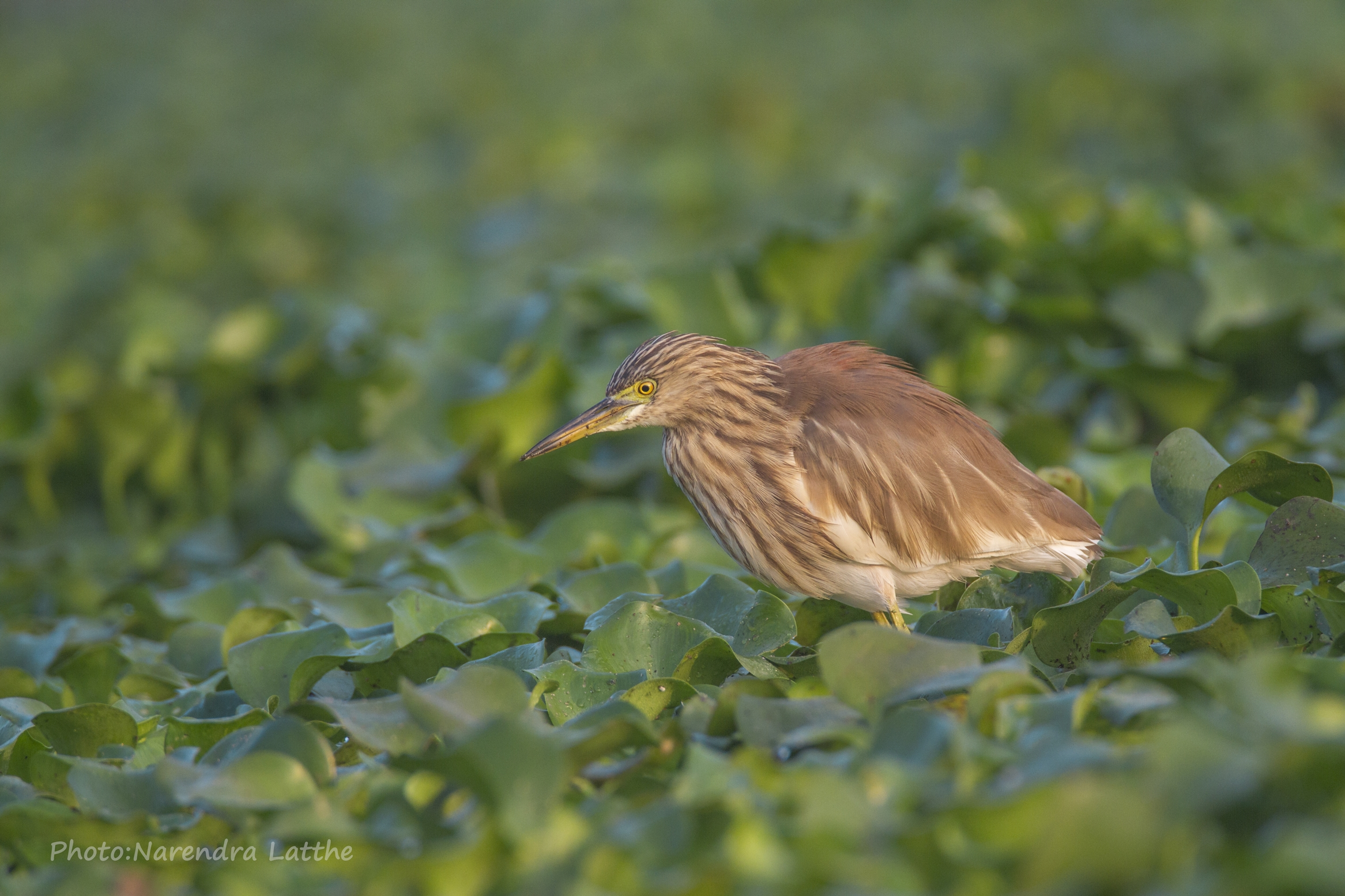Pond heron...