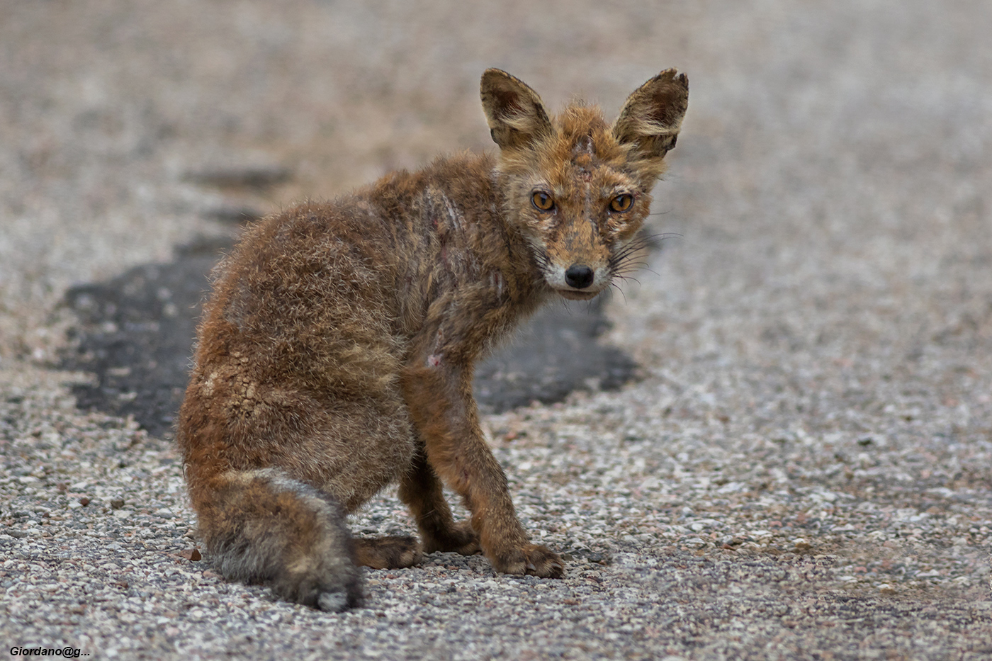 Fox with mange or scabies...