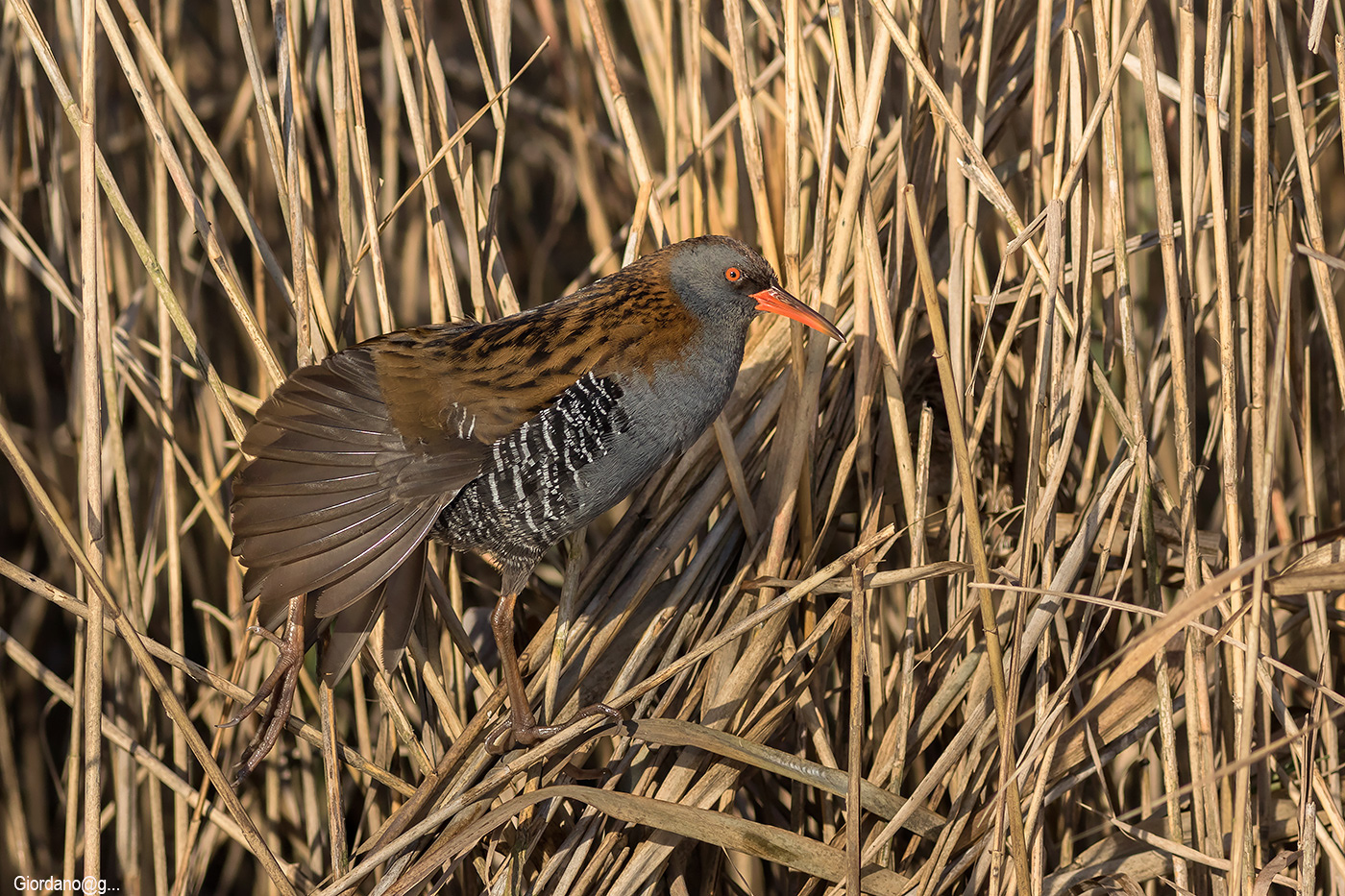 Fetched ..sul reeds...