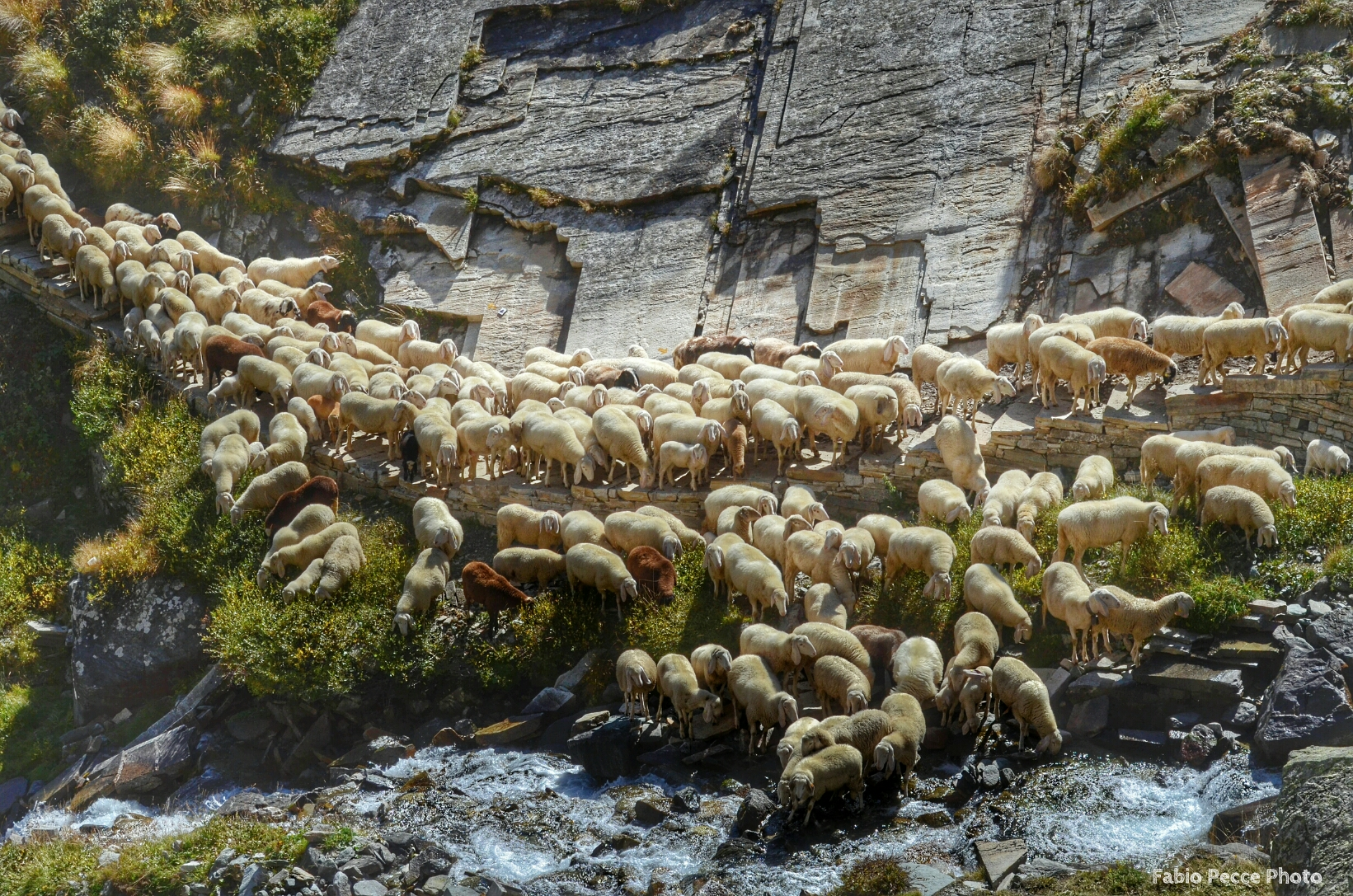 a river of sheep....