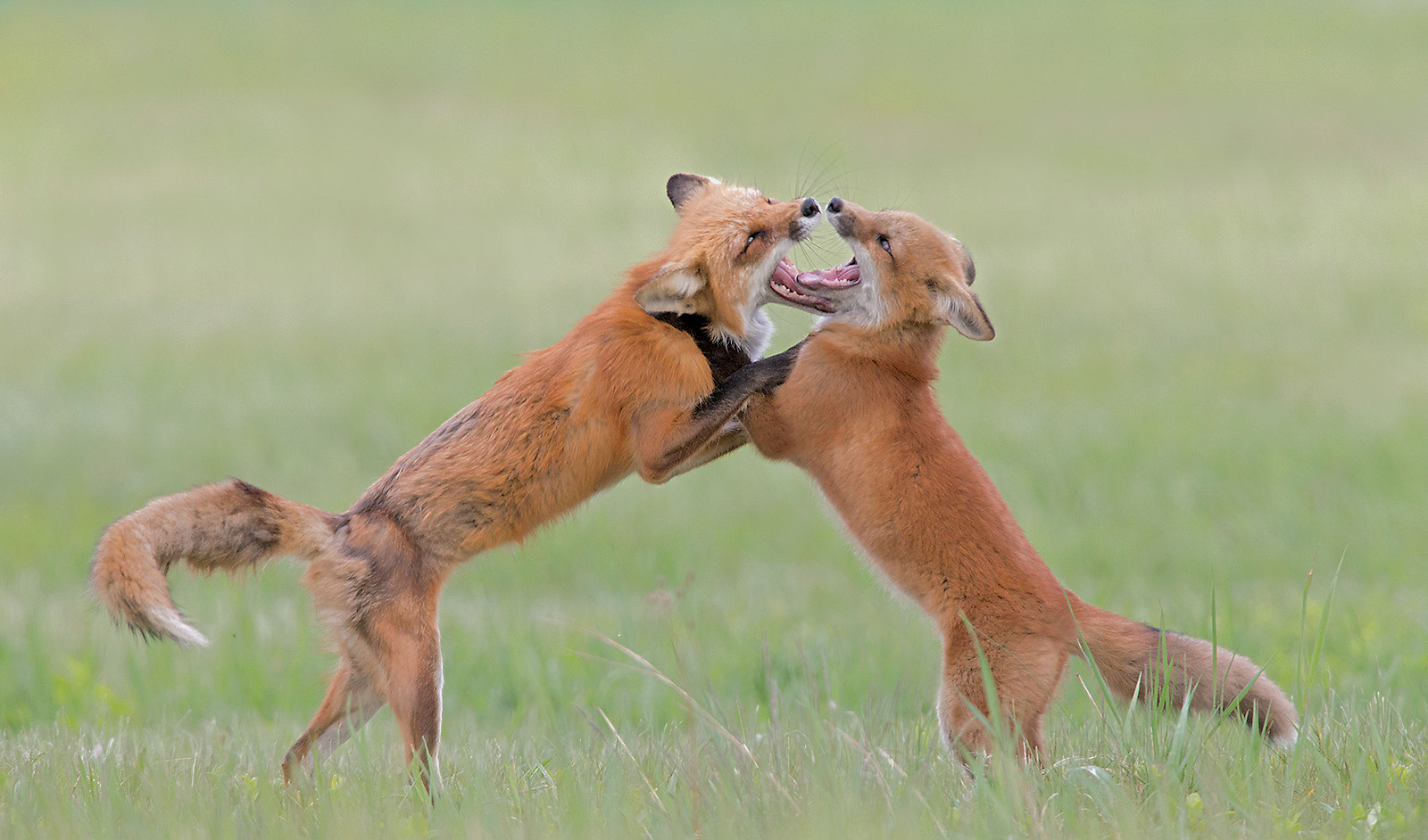 Red Fox Vixen and Kit playing , Ontario , Canada...
