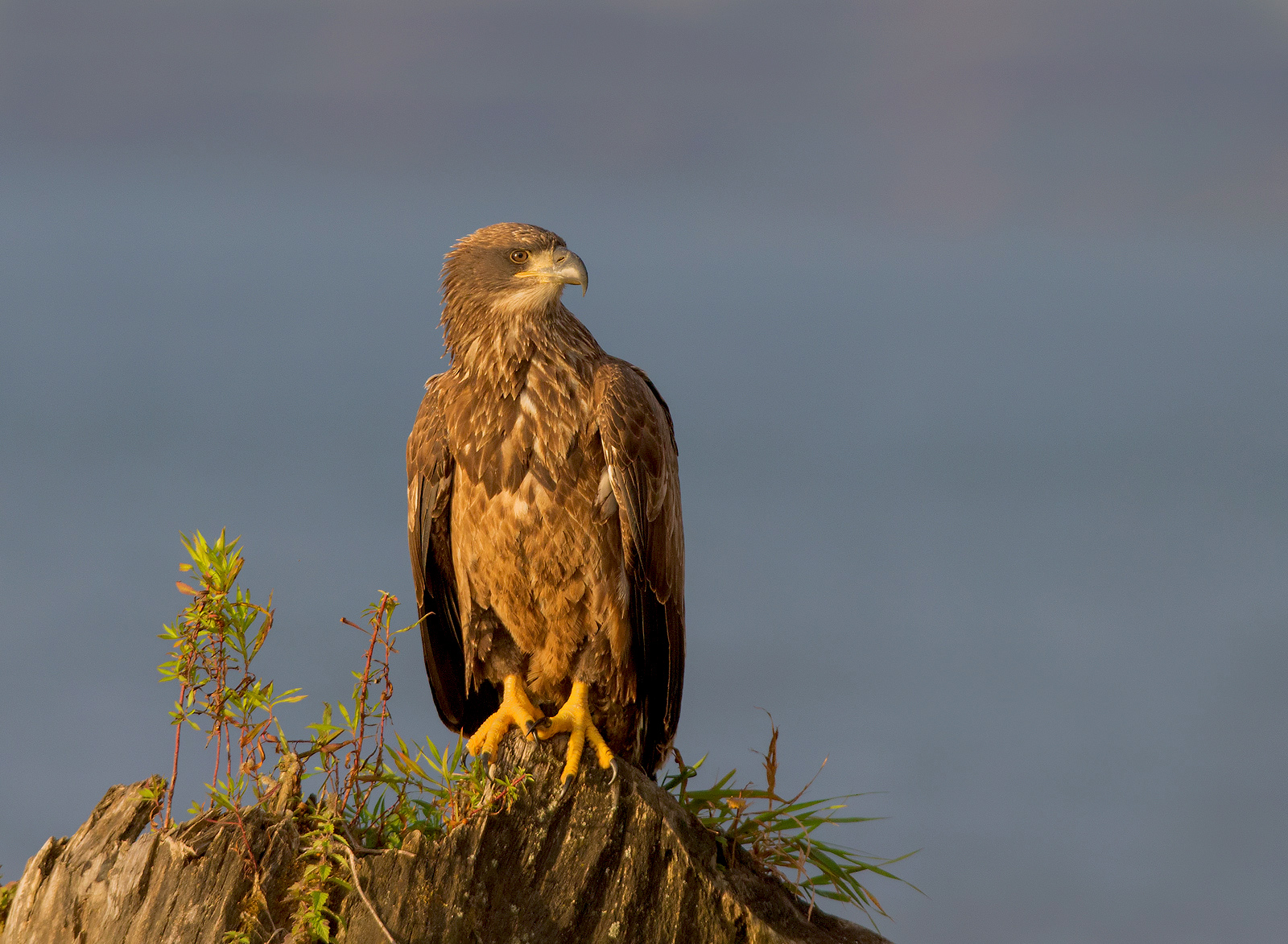 Bald Eagle Juvi , image taken in Ontario , Canada...