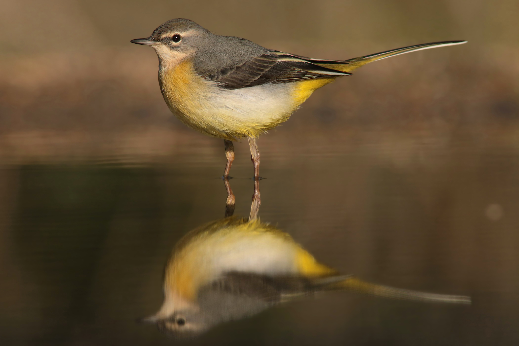 Wagtail mirrored...