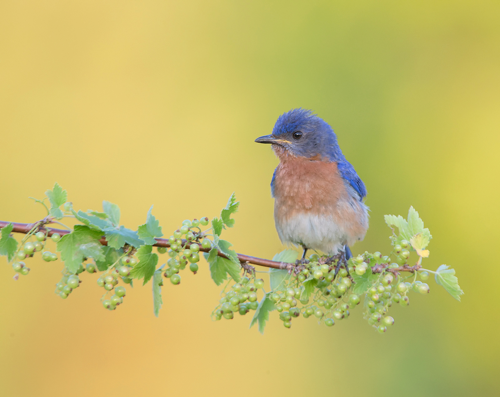 Eastern Bluebird Male , Ontario , Canada...