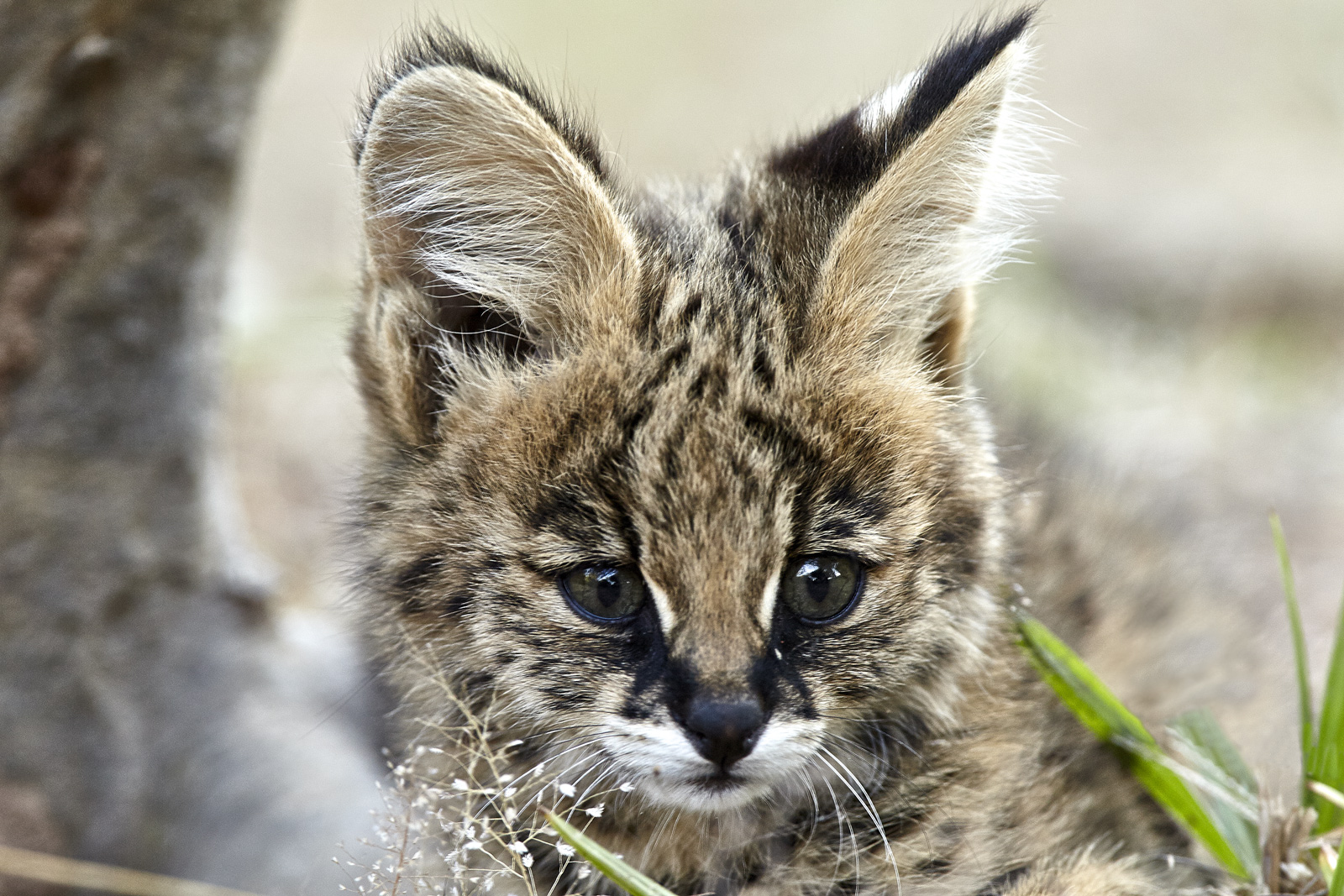 Young Serval...