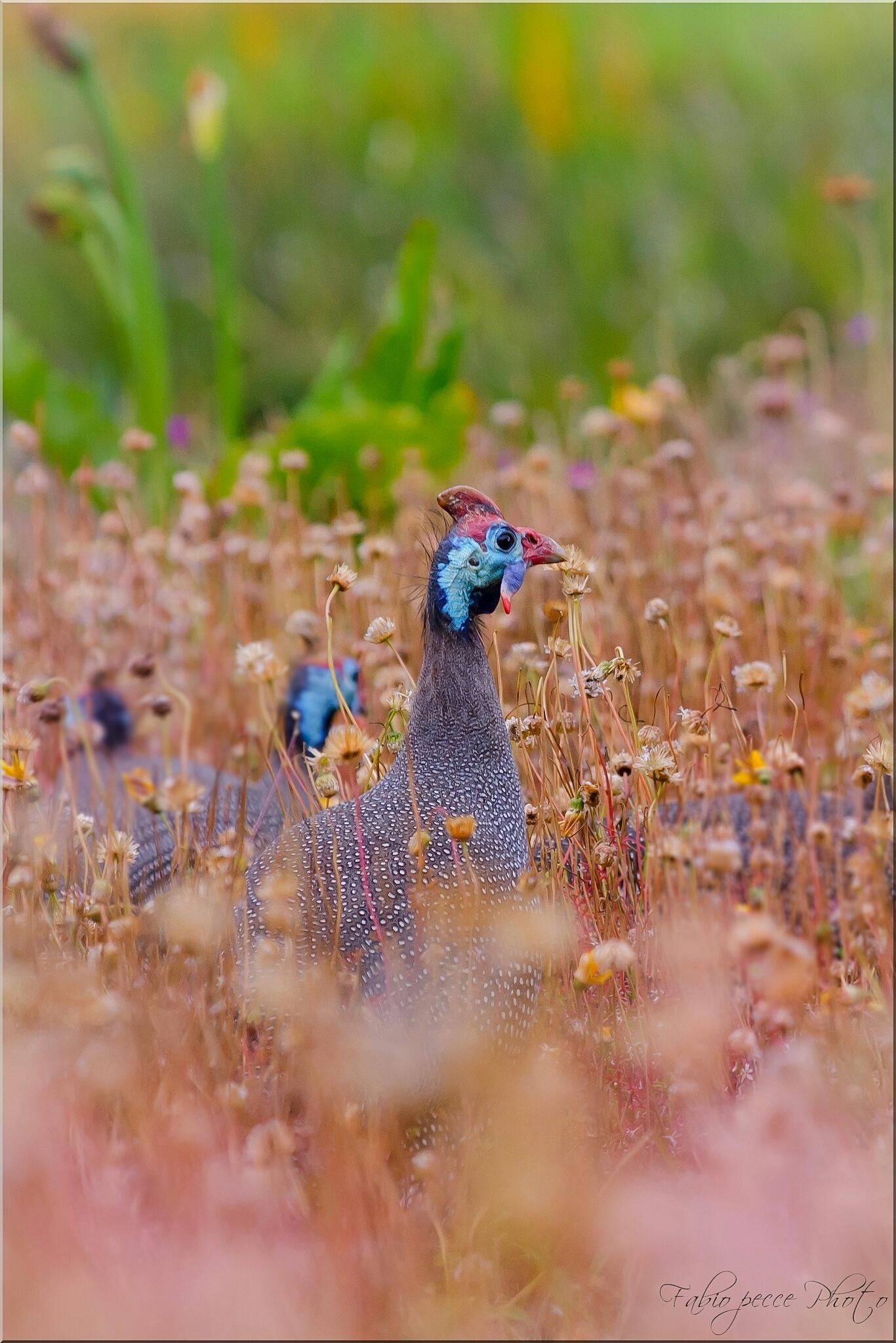 Guinea fowl....